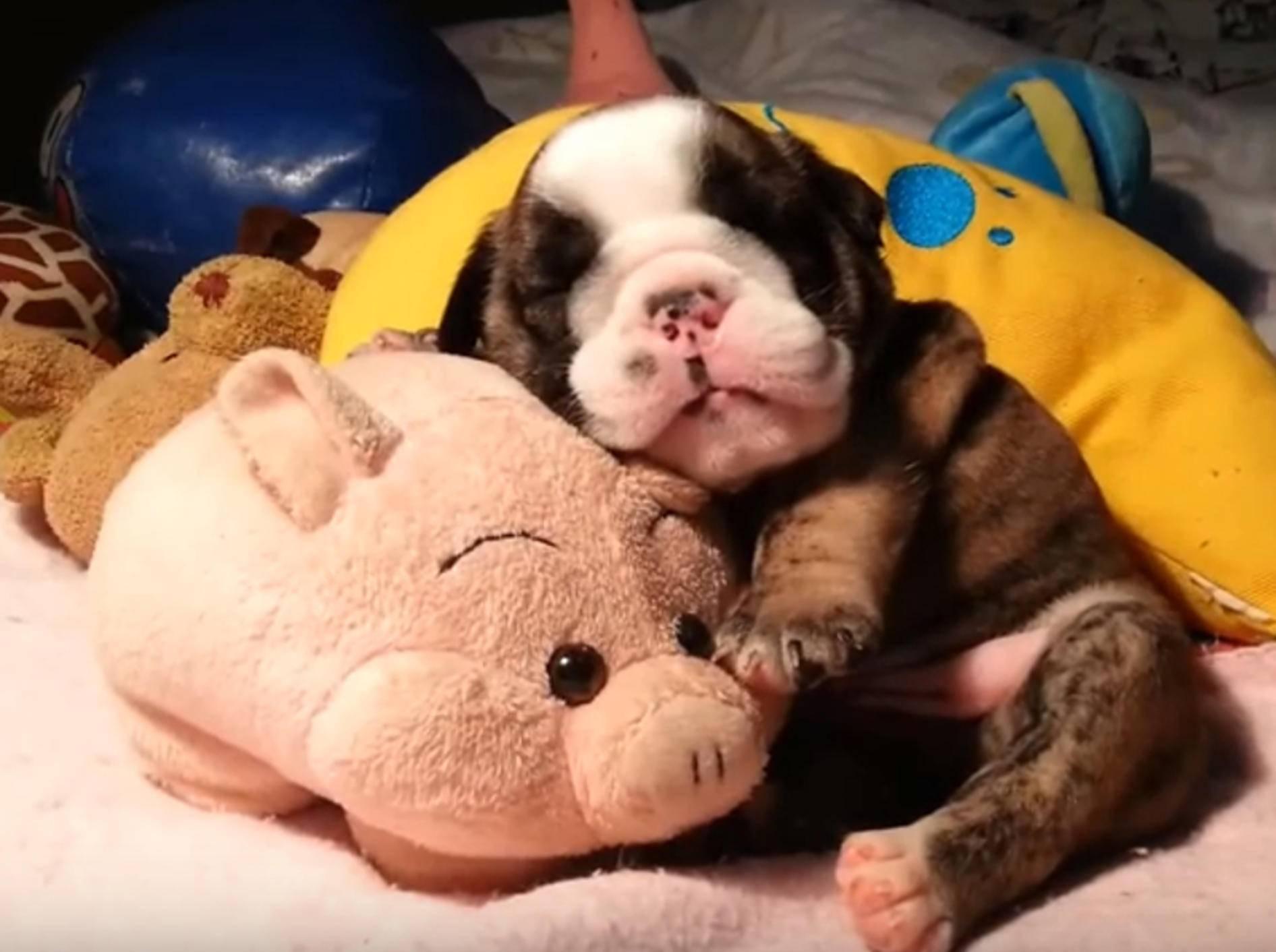Baby-Bulldogge kuschelt mit Stoffschweinchen und schläft – Bild: YouTube / jmarcoz bull