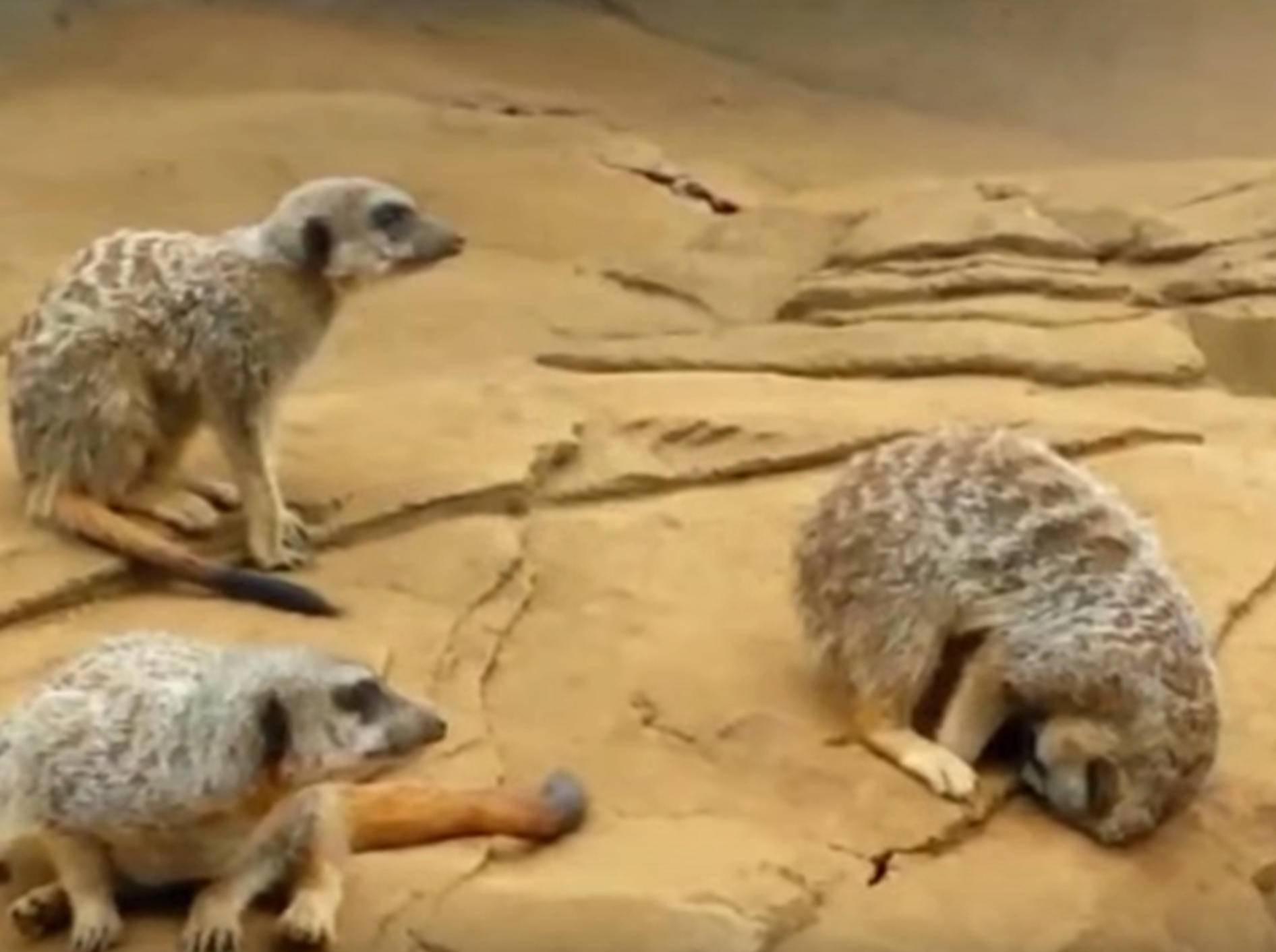 Erdmännchen schläft ein … und kullert vom Felsen – Bild: YouTube / Kyoot Animals