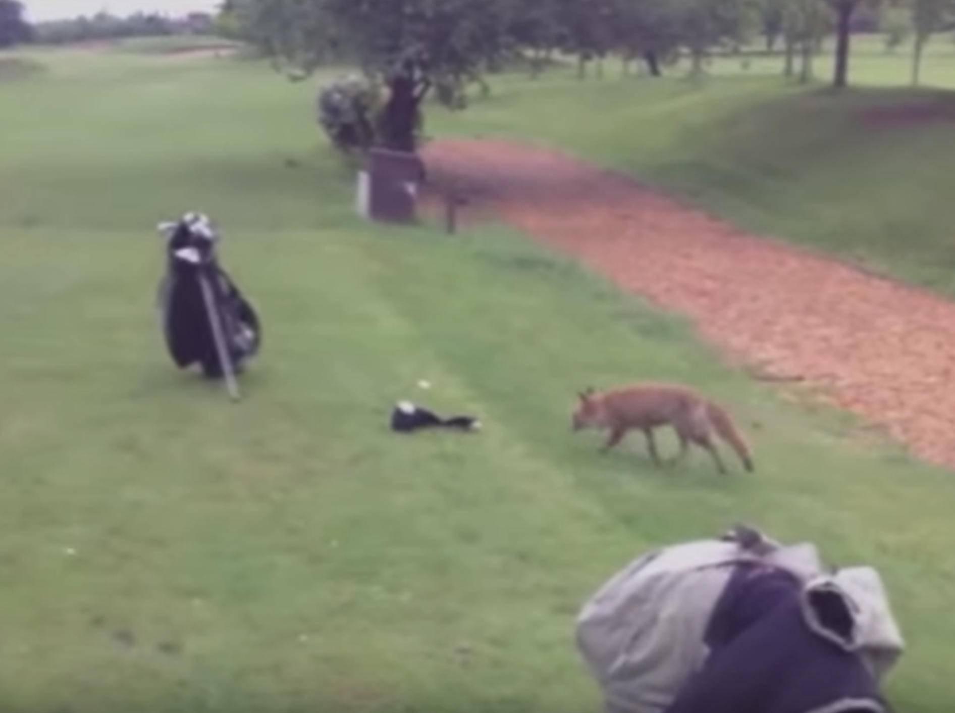 Frecher Fuchs will unbedingt Golfausrüstung haben – Bild: YouTube / Kyoot Animals