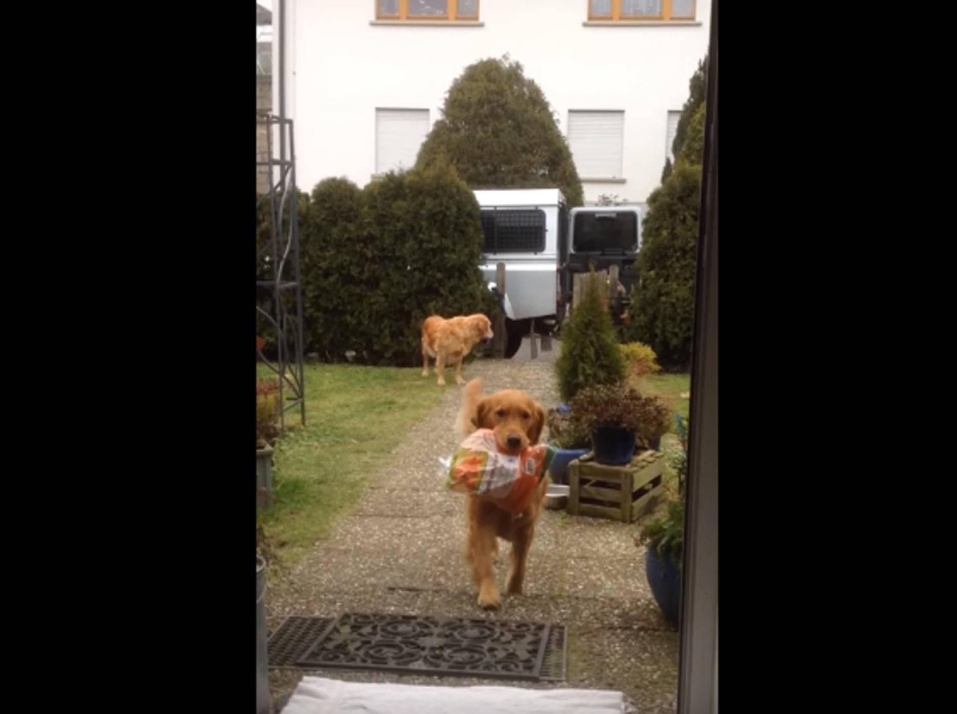 Brave Golden Retriever tragen die Einkäufe rein – Bild: YouTube / Bianca Richter