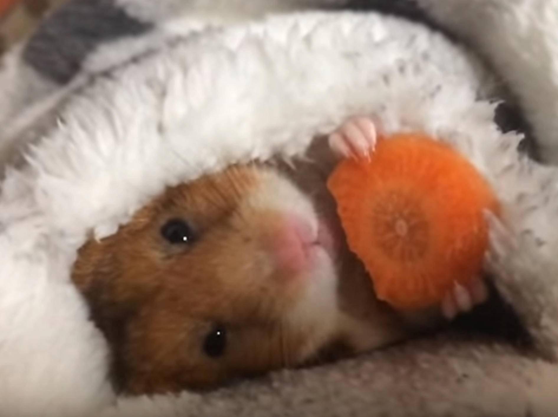 Zum Dahinschmelzen: Niedlicher Hamster futtert Karotte – Bild: YouTube / mikesanman 19