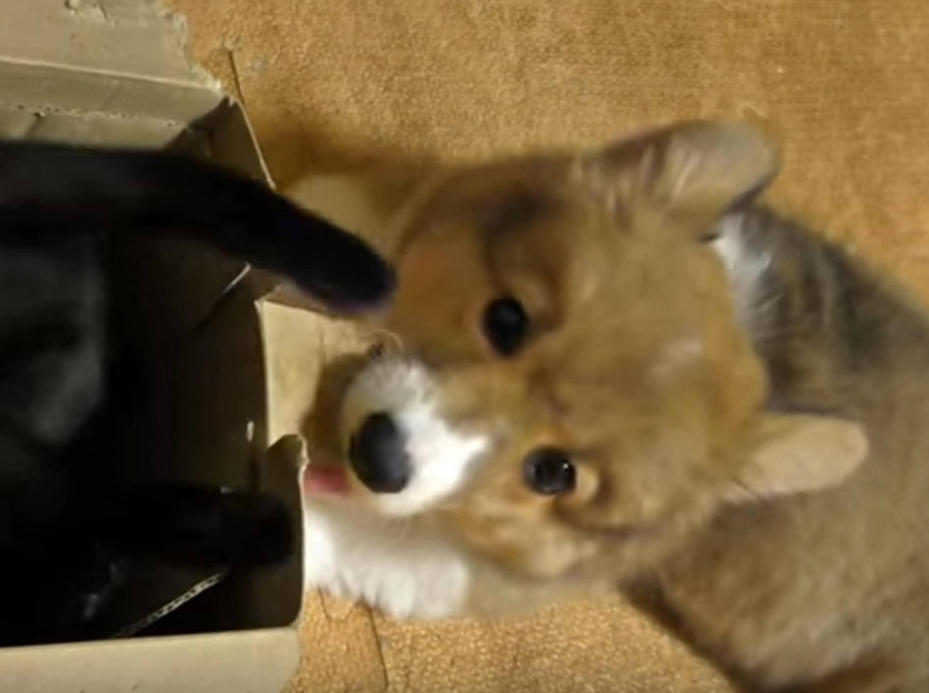 Kätzchen Kuro und Corgi Roku liiiieben Kartons – Bild: YouTube / Goro@Welsh corgi