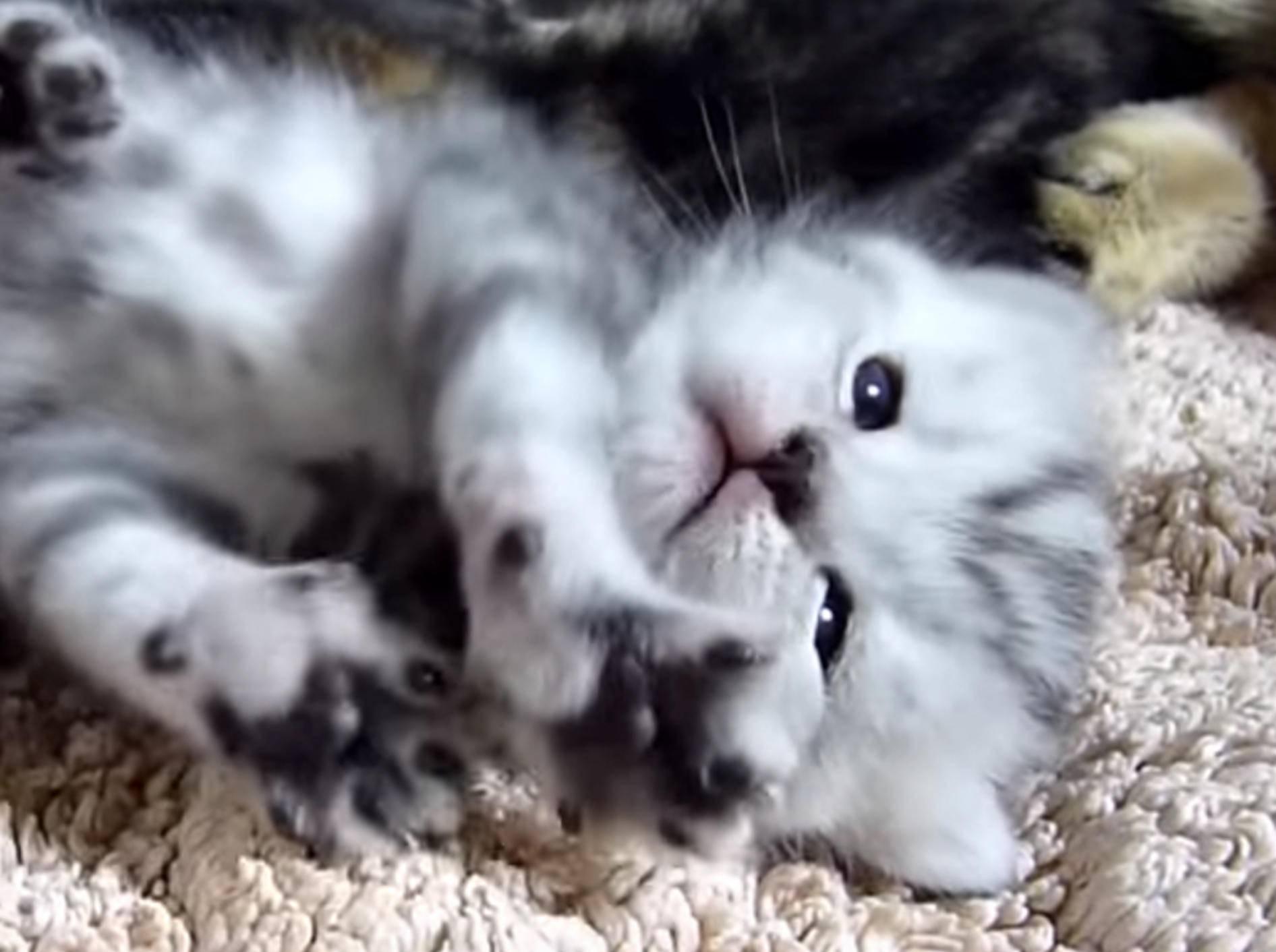 Zuckersüß: Kätzchen Naomi macht Dehnübungen – Bild: YouTube / Funnycatsandnicefish