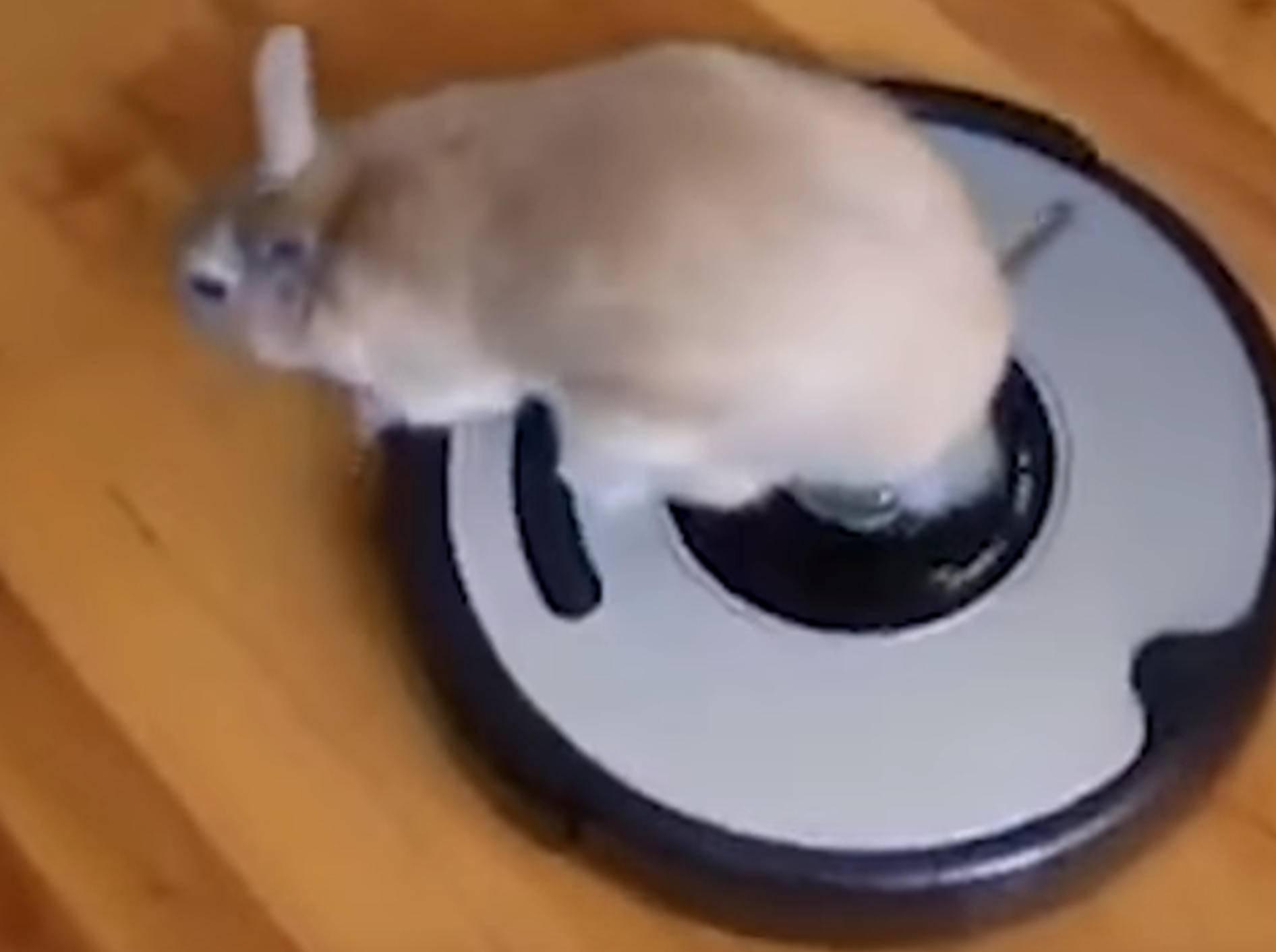 Kaninchen drehen eine Roomba-Runde – Bild: YouTube / The Dodo
