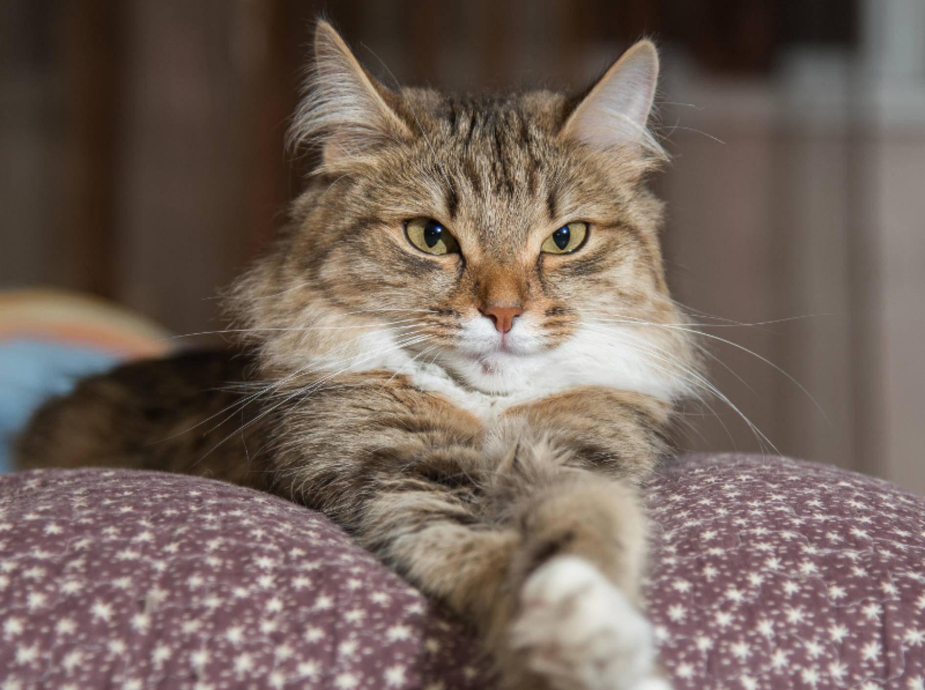 Wenig Bewegung verschlimmert die Arthrose bei Katzen – Shutterstock / Anton Papulov