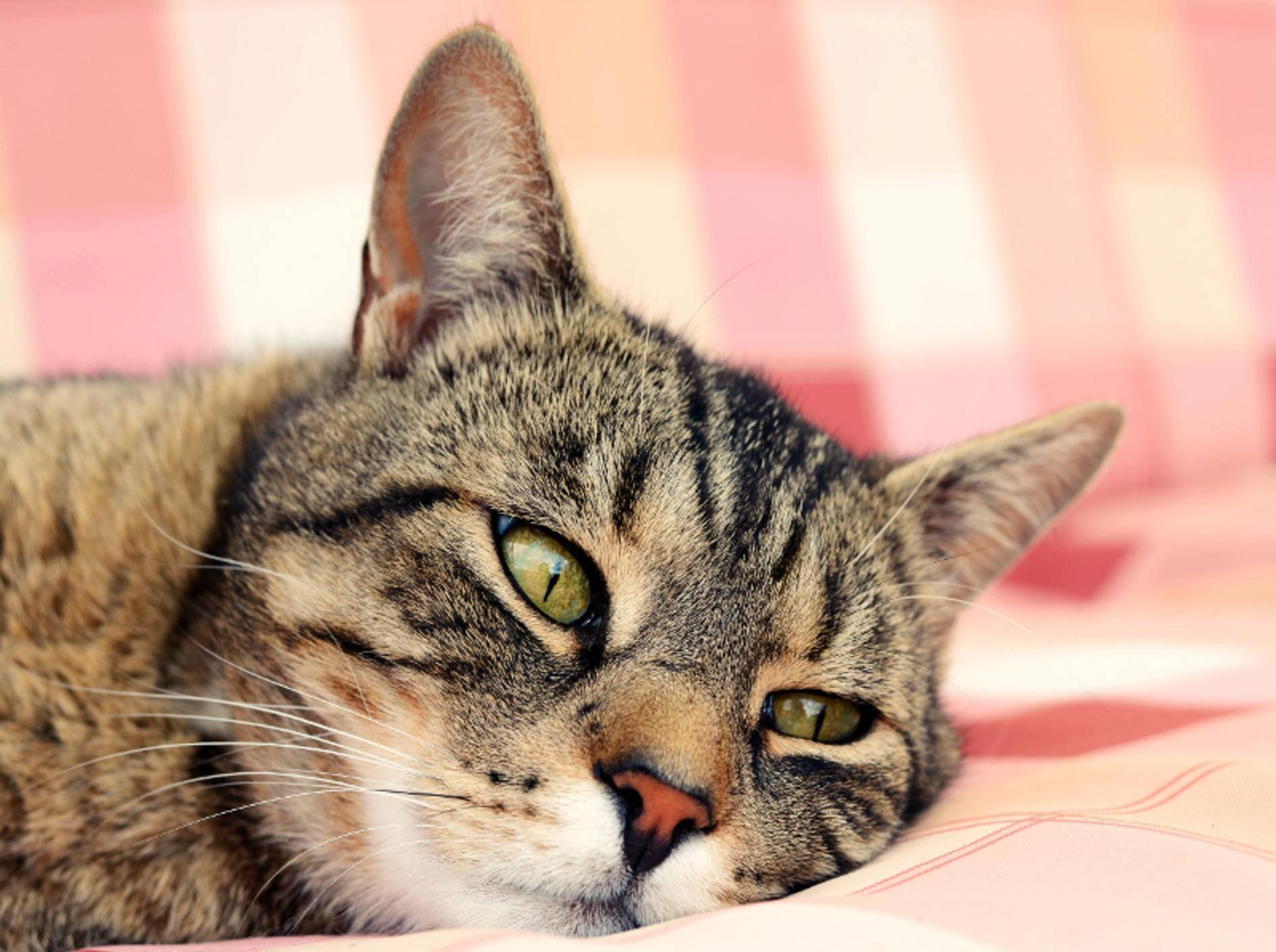 Katzen, die unter Arthrose leiden, sind oft lethargisch – Shutterstock / DavidTB