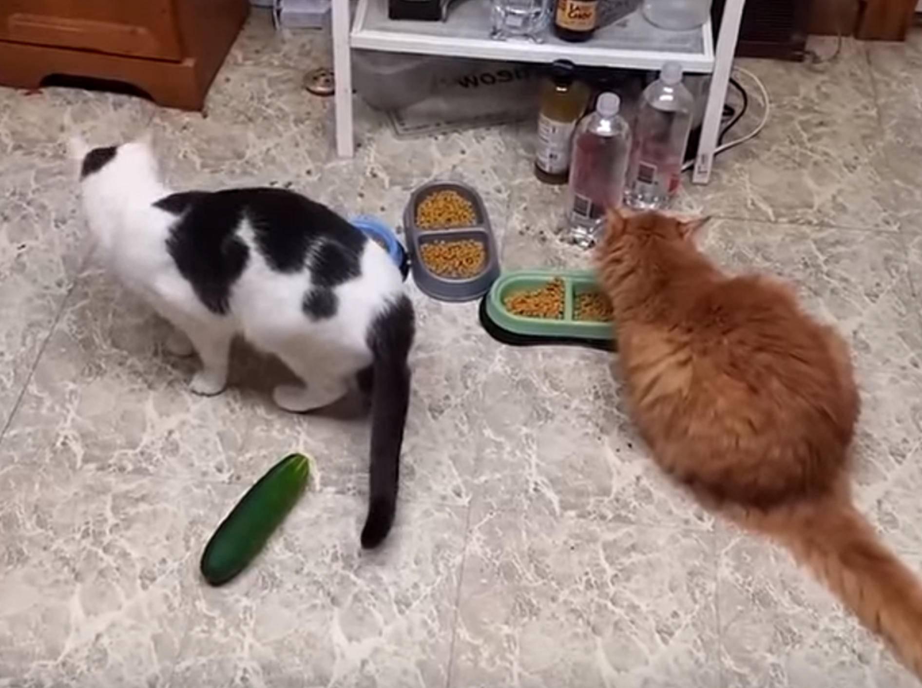 Gemüse des Grauens: Katzen erschrecken sich vor Gurken – Bild: YouTube / Link-Wall . com