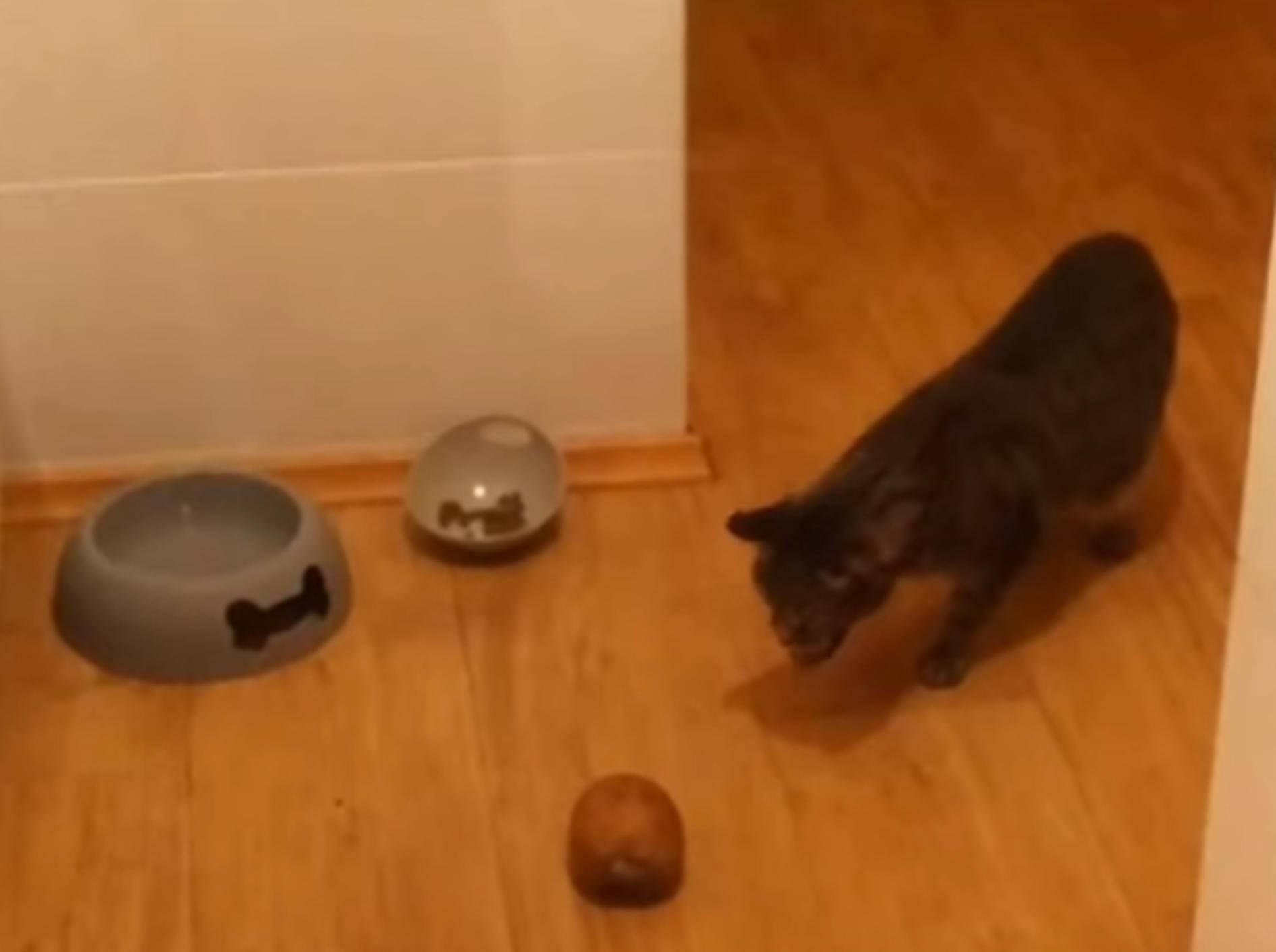 Brummmm, brummmm: Katzen vs. Elektrische Zahnbürste – Bild: YouTube / The Dodo