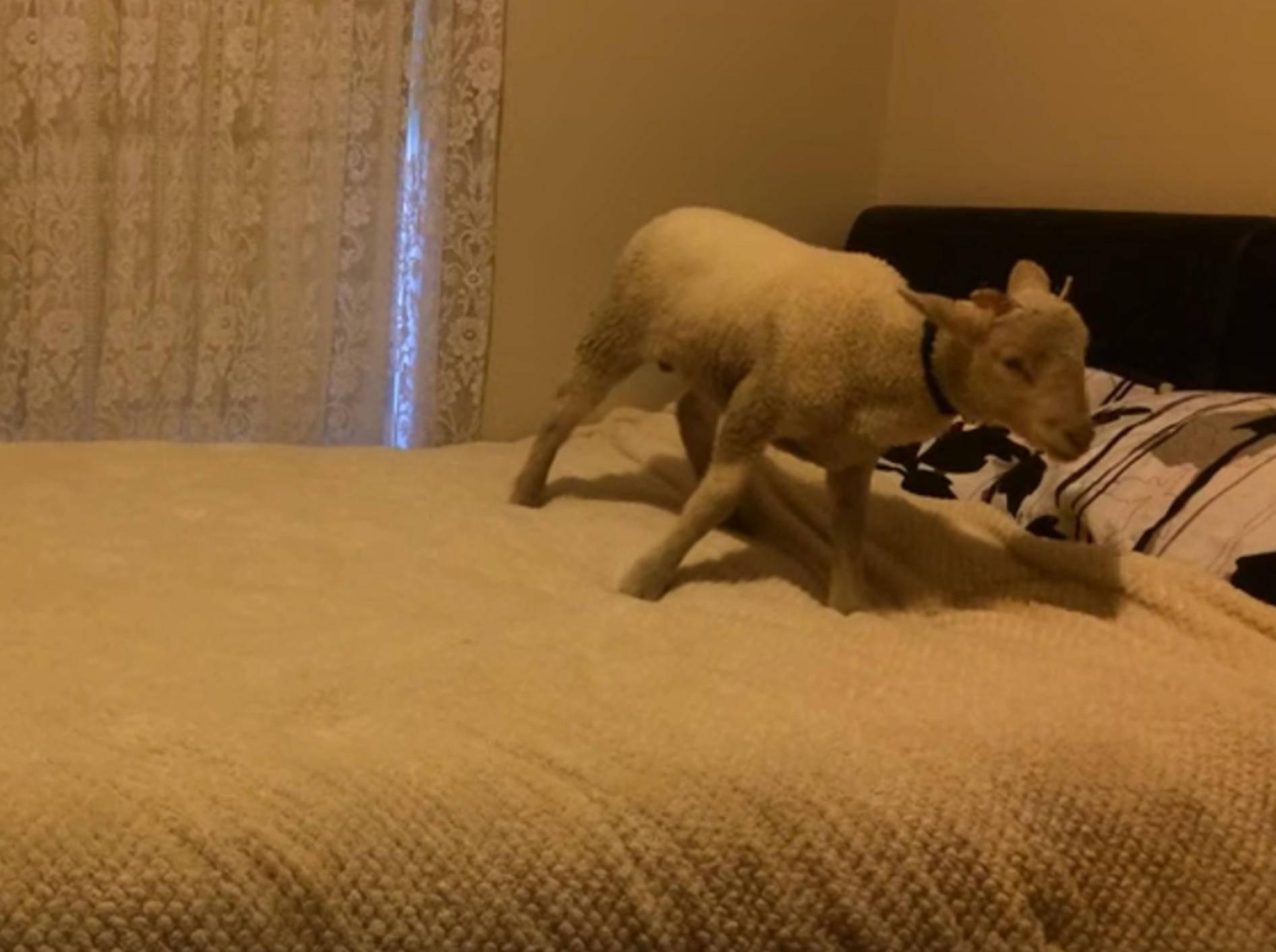 """Schlaues Lamm: """"Ich hüpfe so gerne auf dem Bett!"""" – Bild: YouTube / Shannen Hussein"""