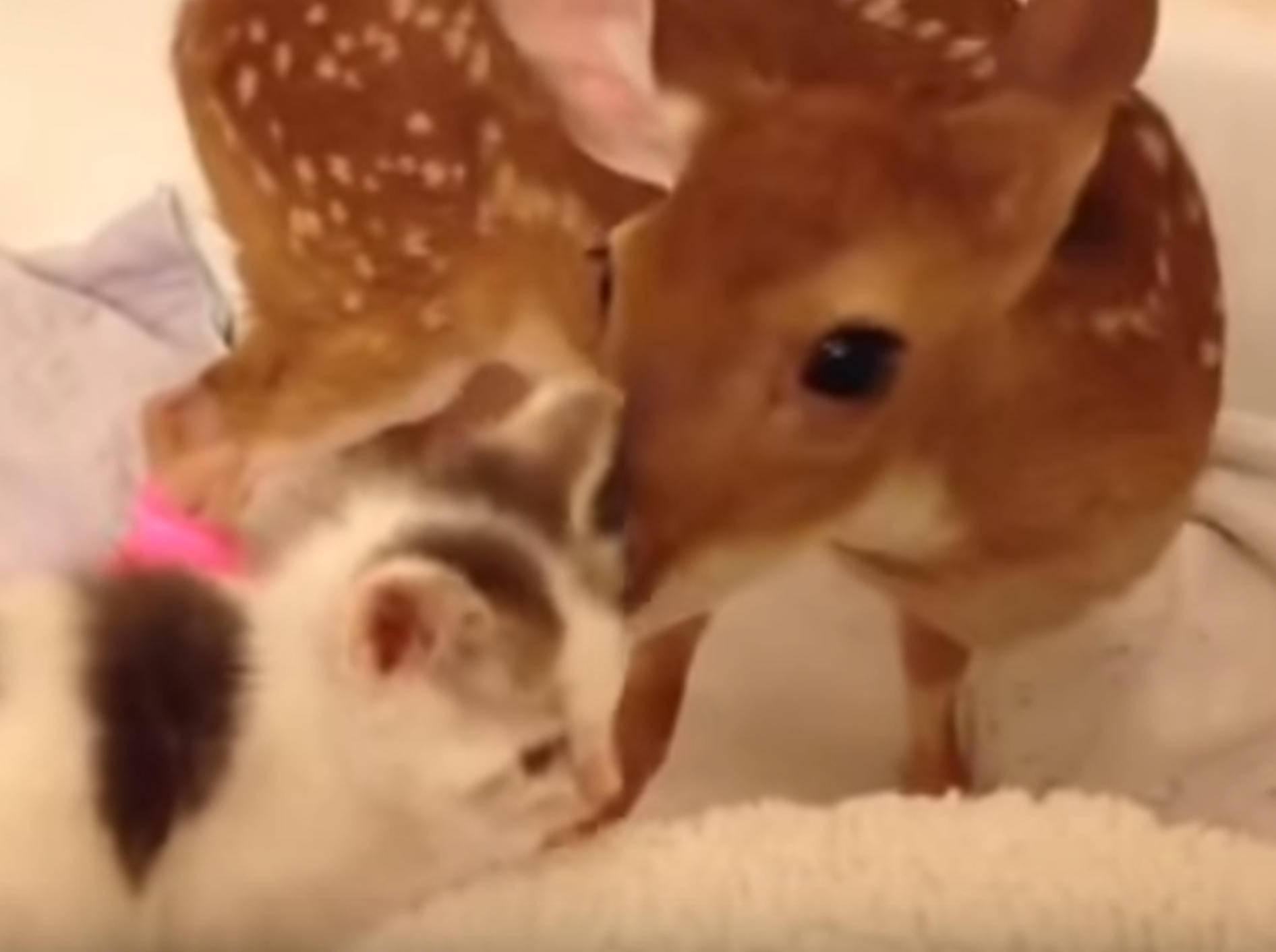 Rehkitz Snowflake freundet sich mit Kätzchen an – Bild: YouTube / TheMarzinka