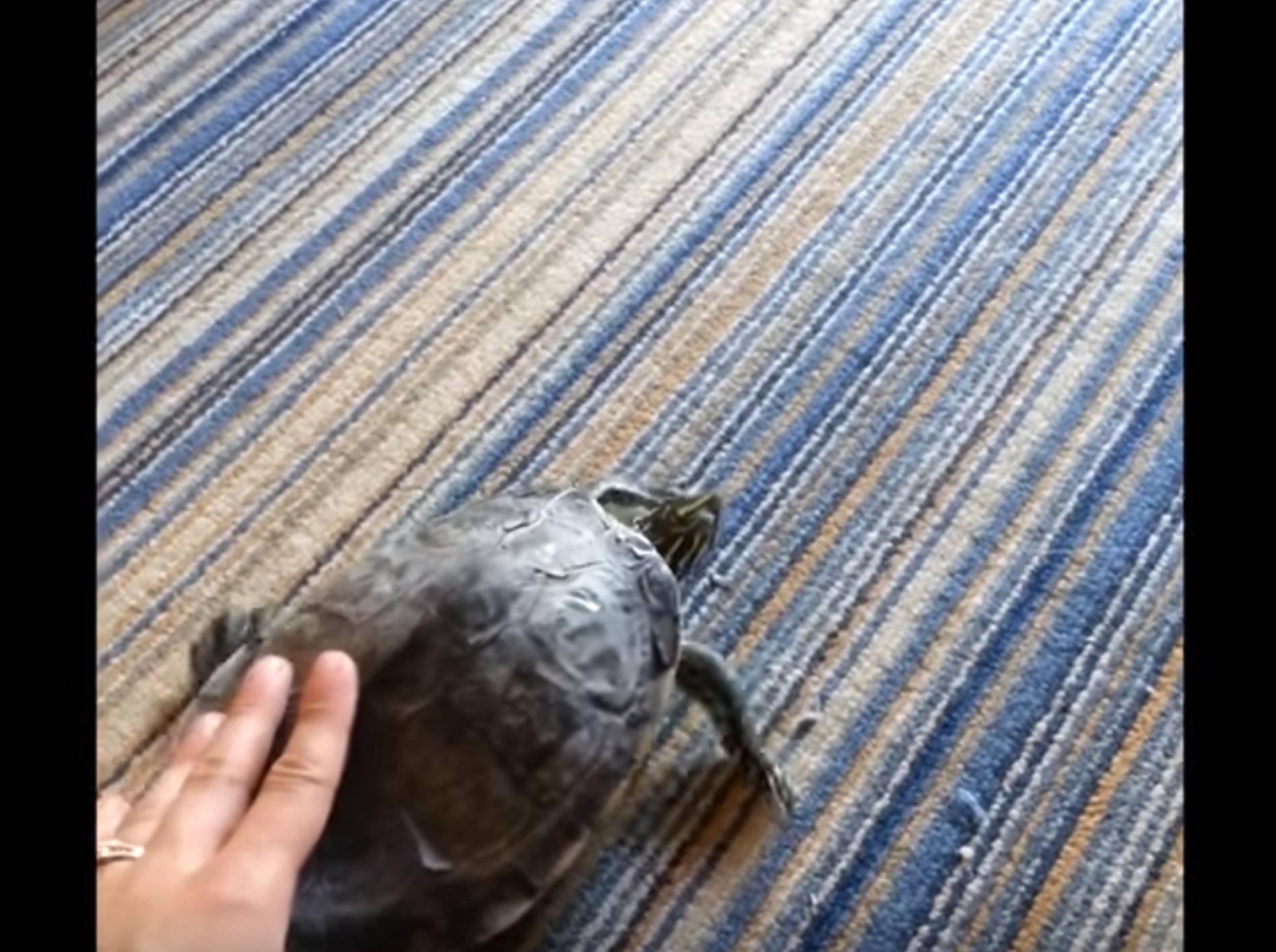 Kraulen mit Wirkung: Schildkröte wackelt mit Panzer – Bild: YouTube / Kyoot Animals