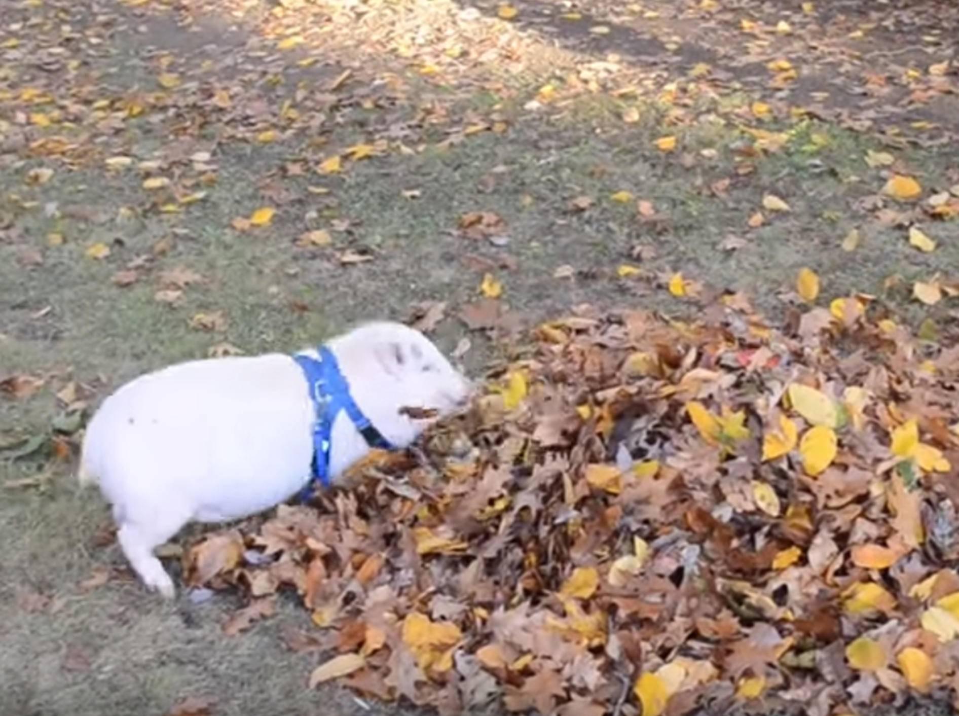 """Kleines Schweinchen: """"Im Laub spielen macht Spaß! Huuuiiiii!"""" – Bild: YouTube / Tammy Scheers"""