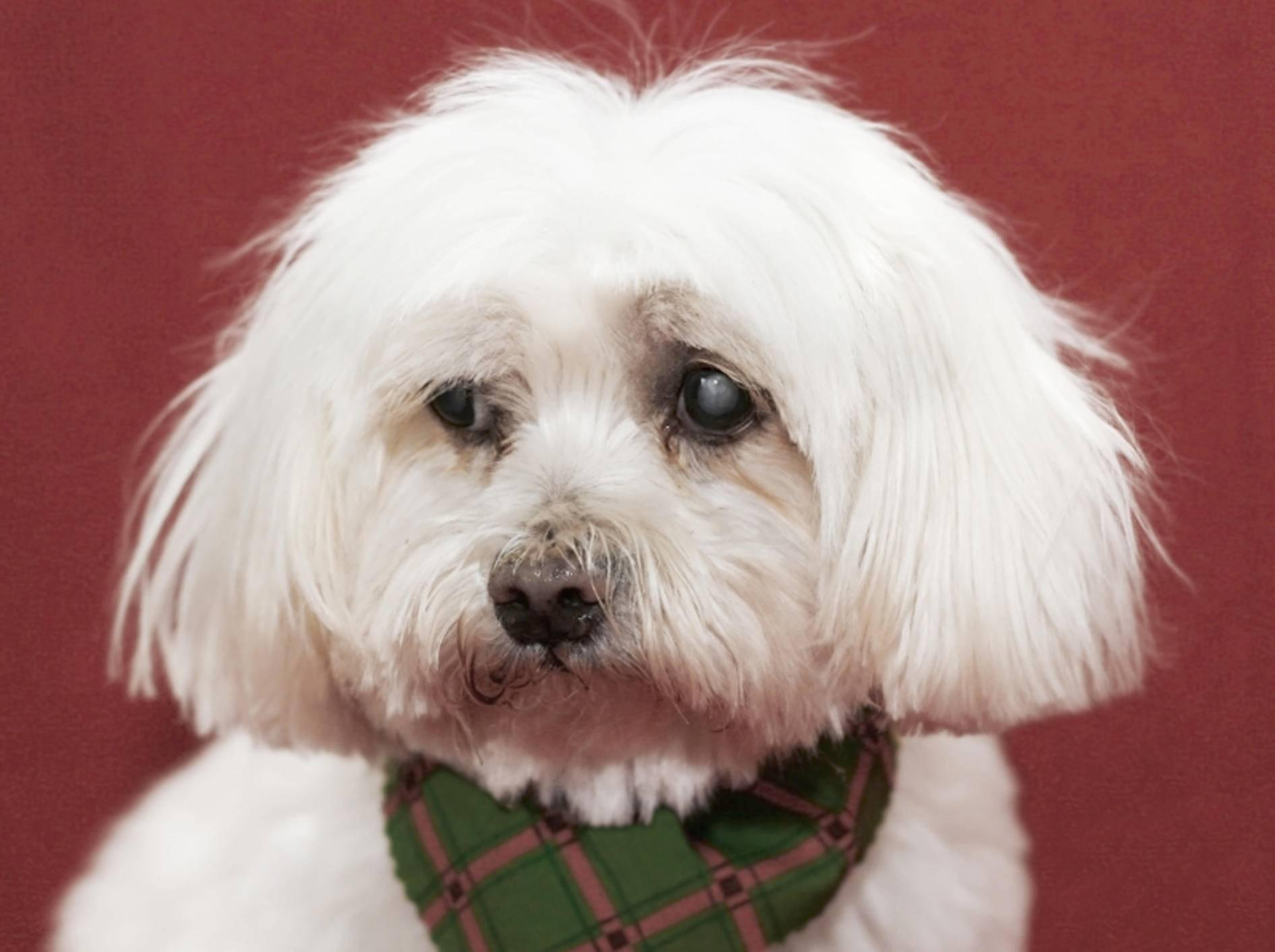 Dieser kleine Malteser leidet an Grauem Star und ist blind – Shutterstock / Joy Brown