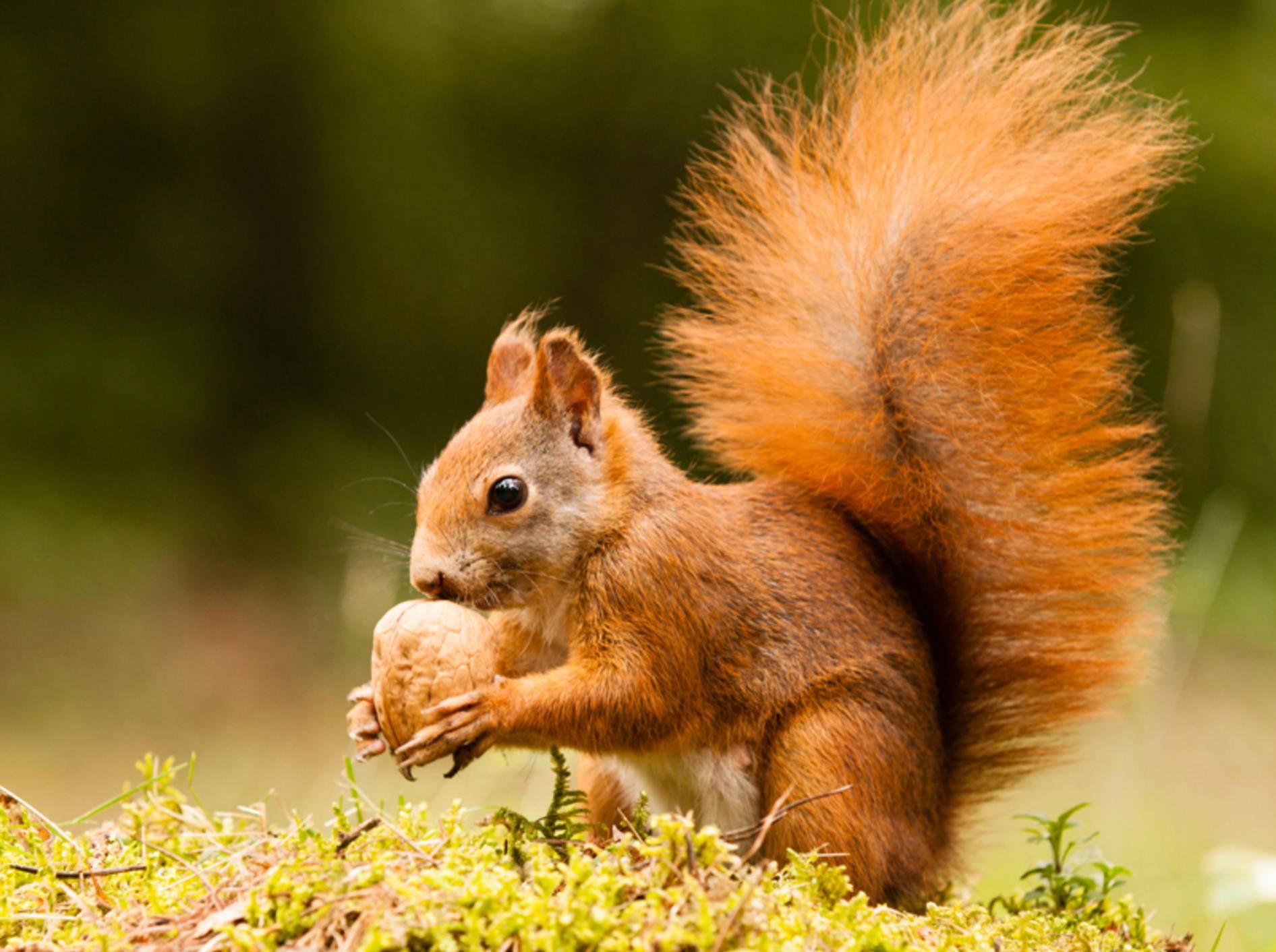 Dieses Eichhörnchen freut sich über die wiedergefundene Nuss – Shutterstock / Jarry