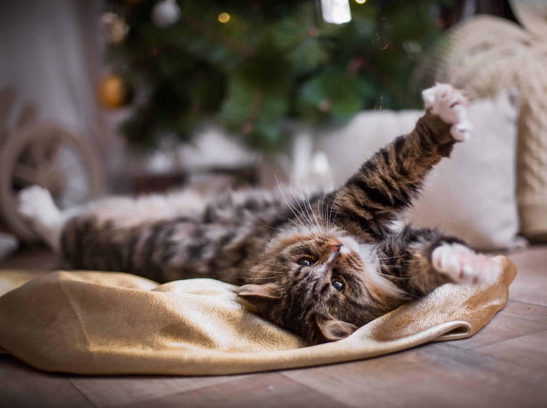 """""""Weihnachtsstress? Nicht mit mir"""", denkt diese entspannte Katze – Shutterstock / dezi"""