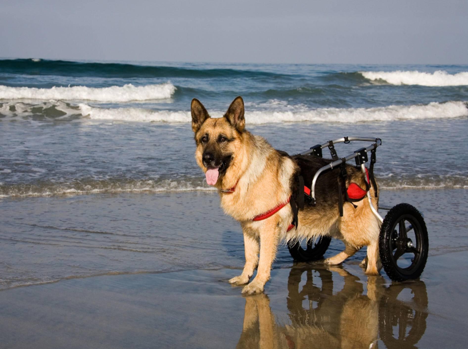 """""""Bewegungsfaul dank Handicap? Wieso denn?"""", denkt sich dieser Hund – Shutterstock / Peter Kunasz"""