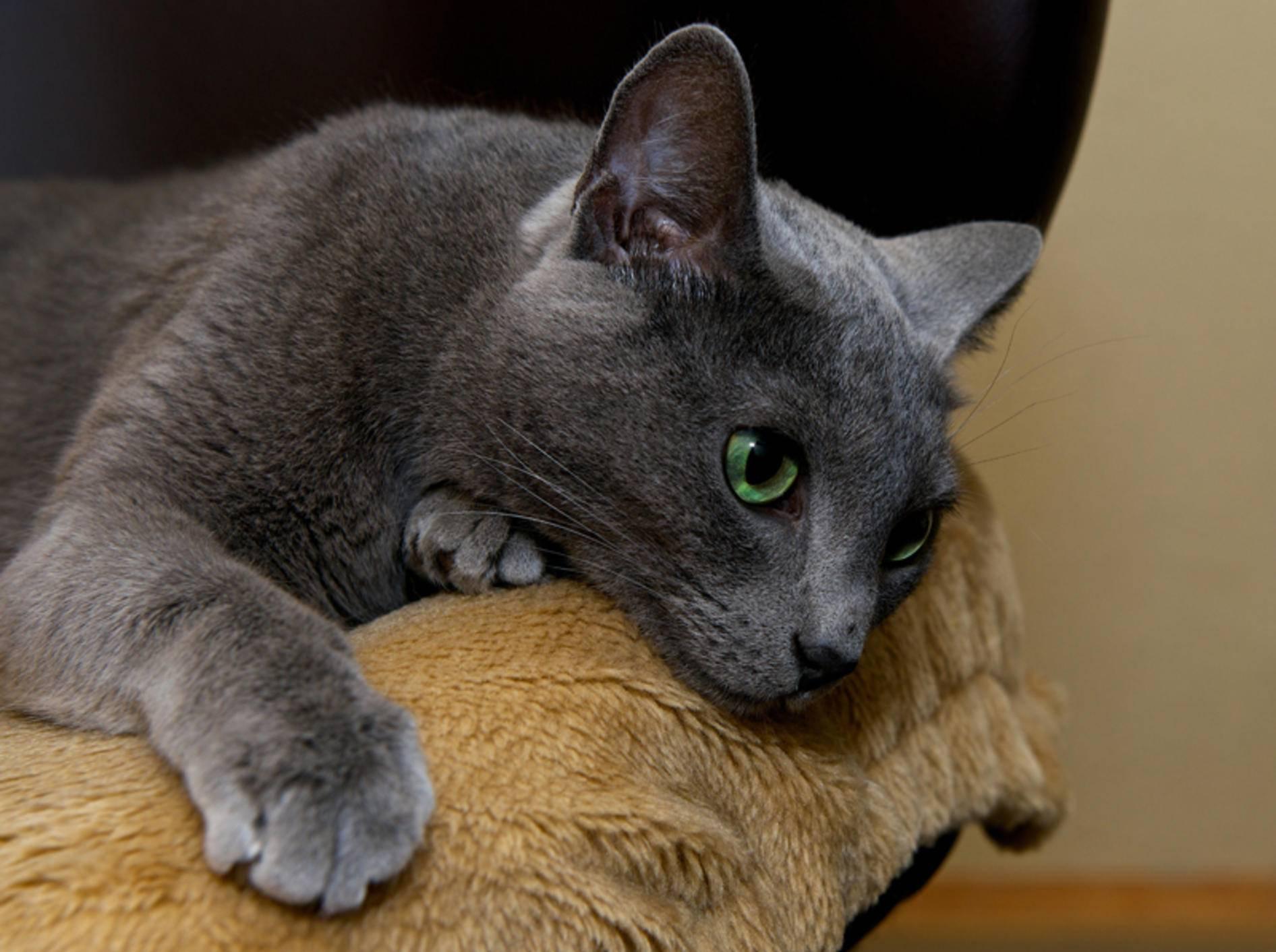Katzen lassen sich ihre Schmerzen ungern anmerken – Shutterstock / Renata Apanaviciene
