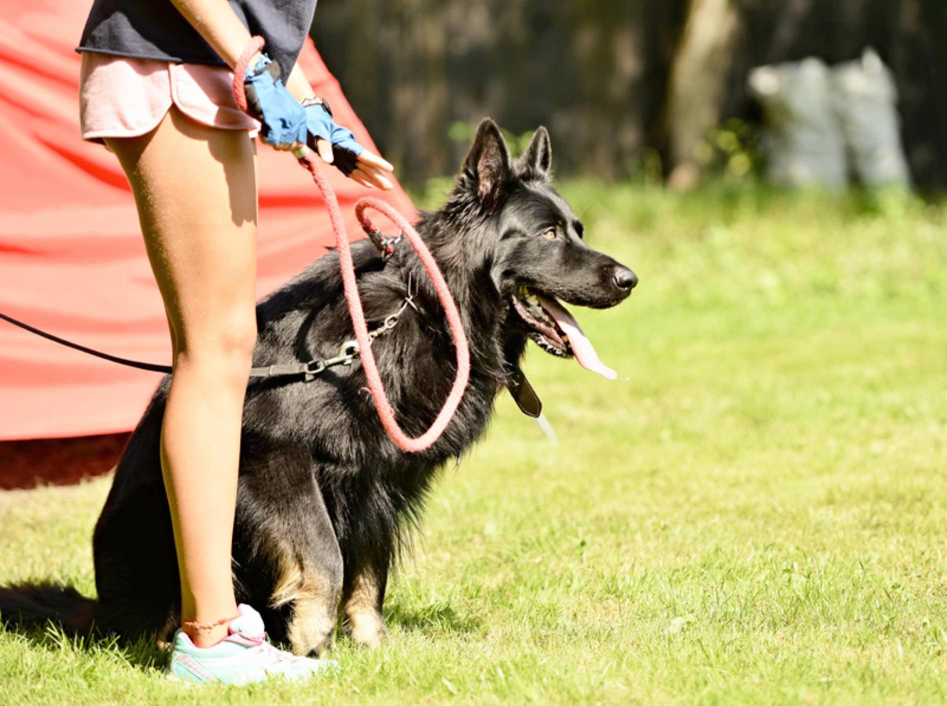 Schutzhunde sind wahre Multitalente – Shutterstock / Marcel Jancovic