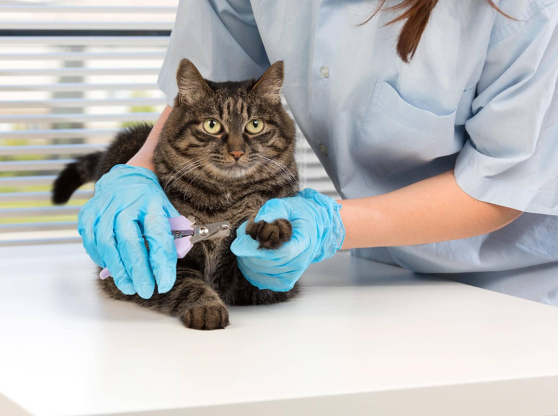 Ihr Tierarzt zeigt Ihnen, wie Sie Ihrer Katze die Krallen schneiden können – Shutterstock / NShubin