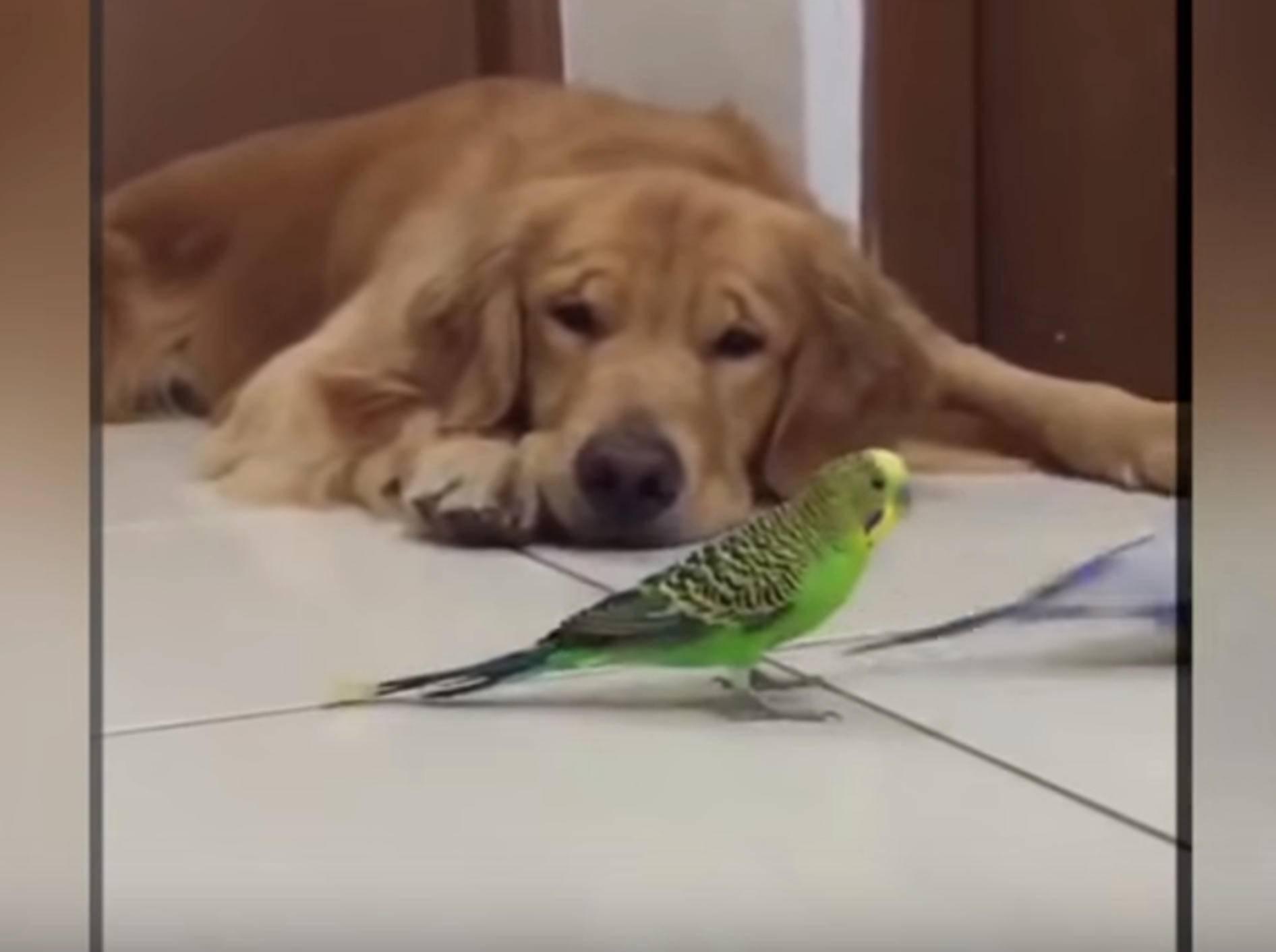 Golden Retriever hat einen ganz speziellen Freundeskreis – Bild: YouTube / sergio barrantes