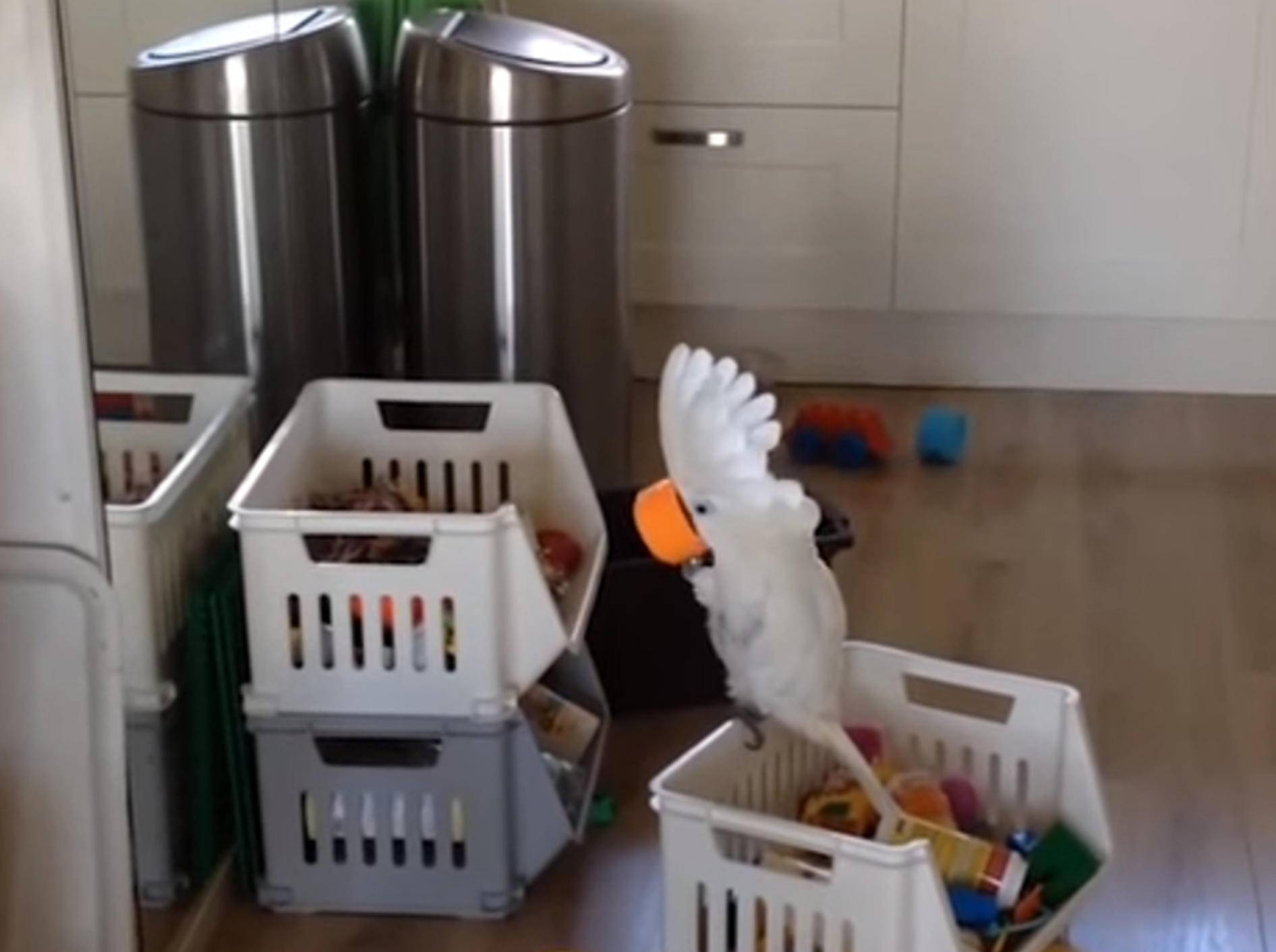 Dieser Kakadu zeigt lautstark, wer der Boss ist – Bild: YouTube / The Pet Collective