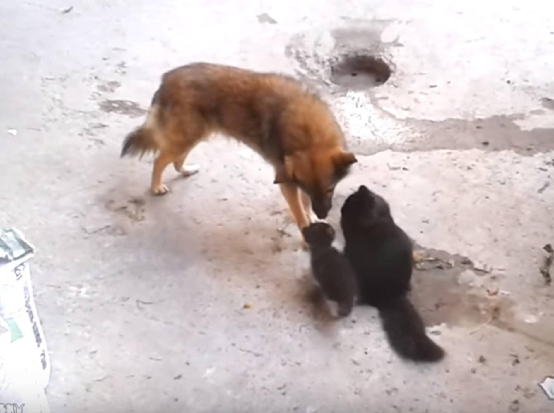 Katzenmama stellt ihren Babys Hundekumpel vor – Bild: YouTube / ignoramusky