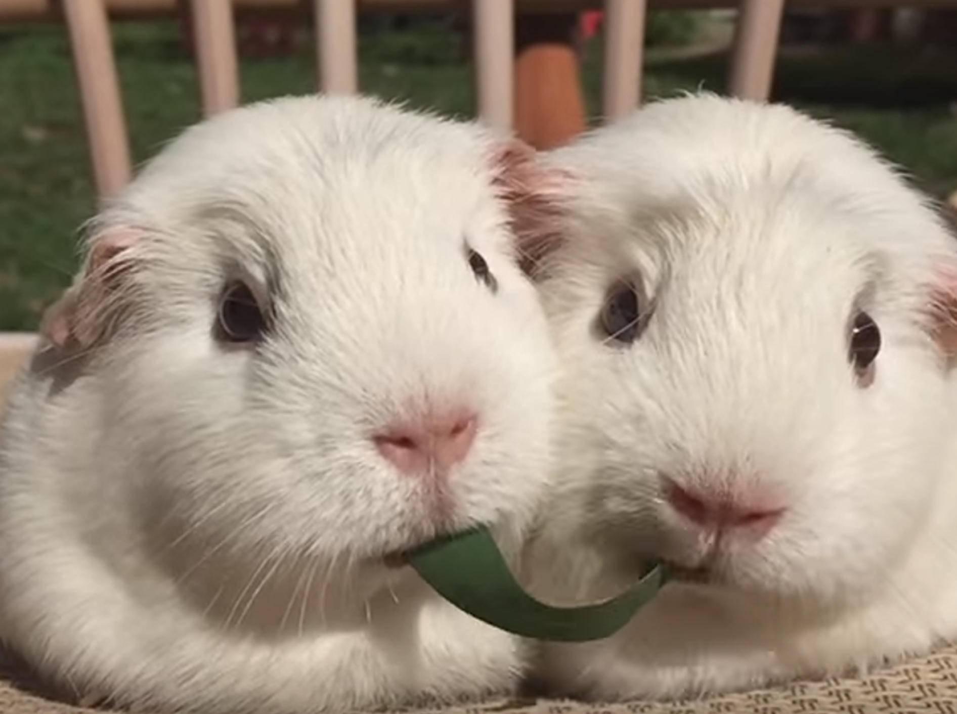 """Meerschweinchen ahmen """"Susi & Strolch""""-Szene nach – Bild: YouTube / The Pet Collective"""