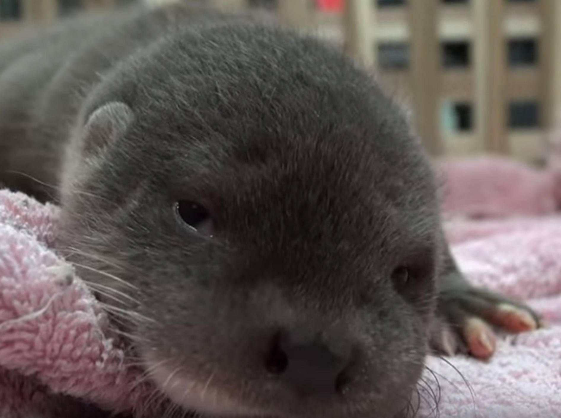 Herzige Otterbabys im Taipei Zoo – Bild: YouTube / 臺北市立動物園