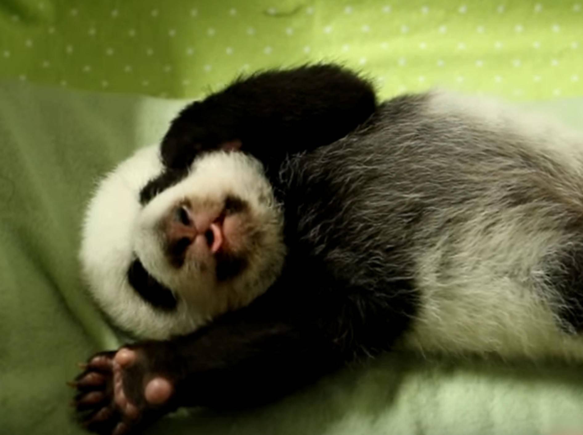 Herziges Panda-Baby im Toronto Zoo öffnet erstmals die Äuglein – Bild: YouTube / Toronto Zoo