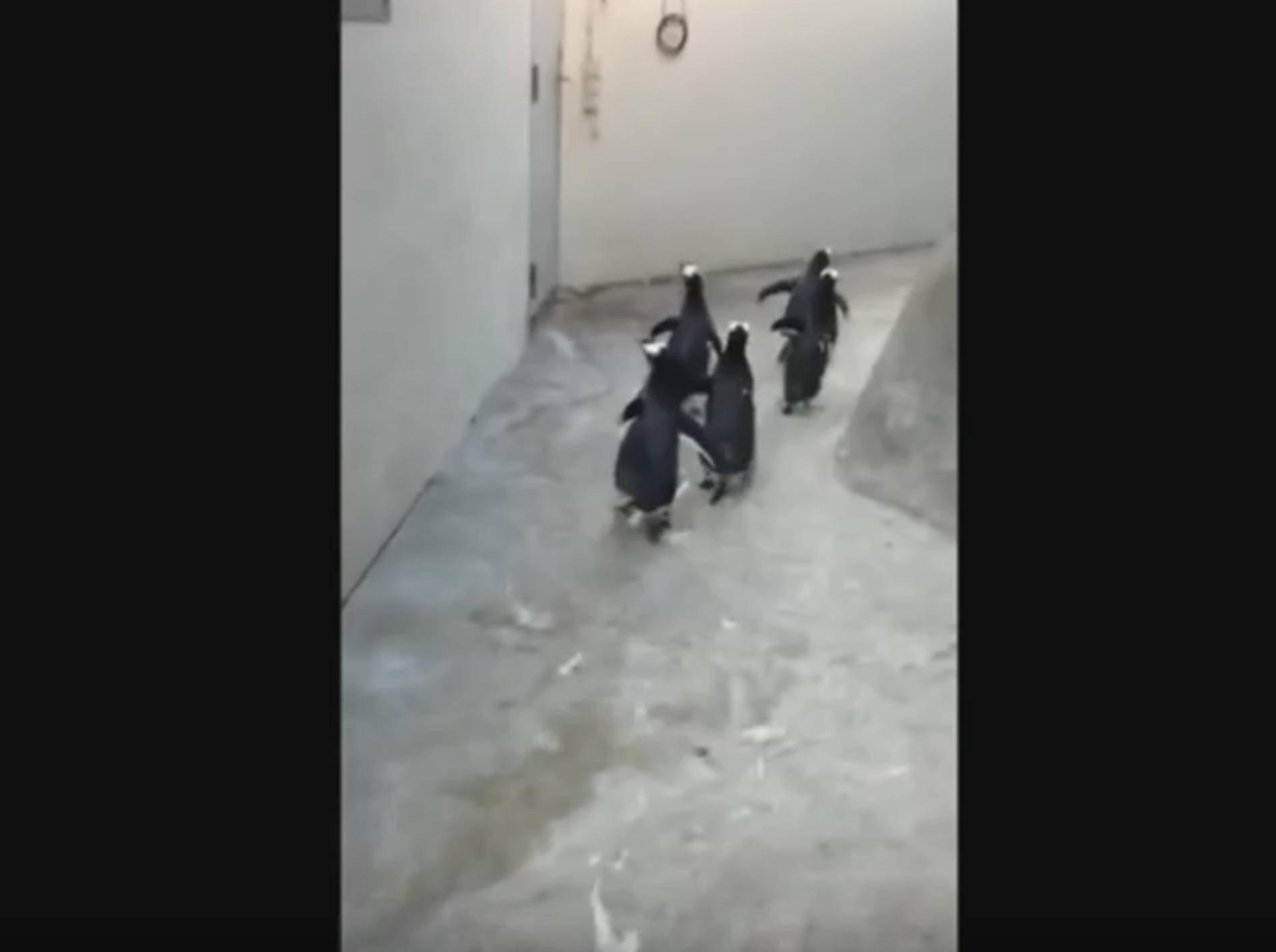 Die Jagd beginnt: Freche Pinguine auf der Flucht – Bild: YouTube / zooodense