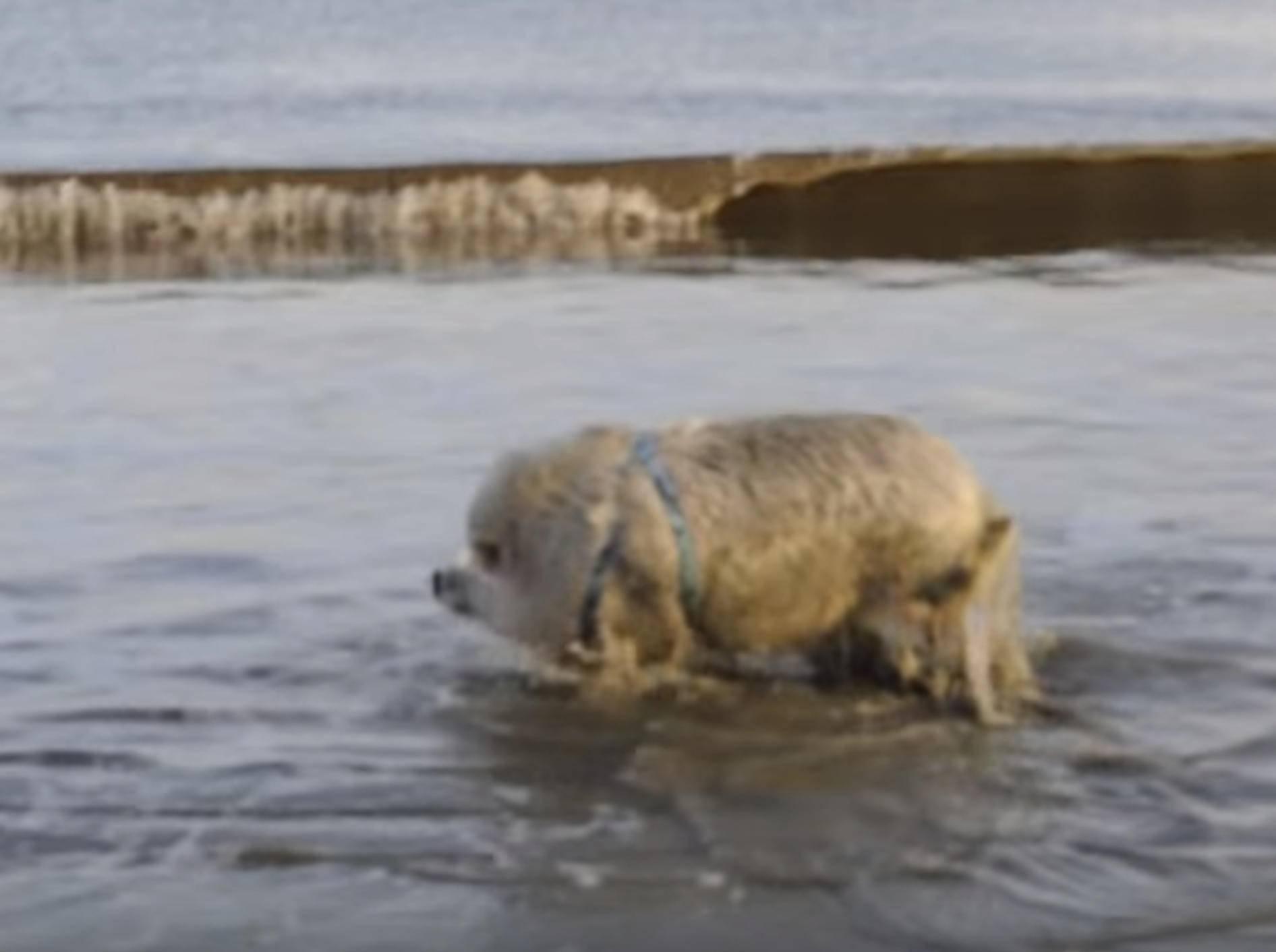 Schweinchen Ziggy hat Spaß beim Planschen – Bild: YouTube / Ziggy the Traveling Piggy