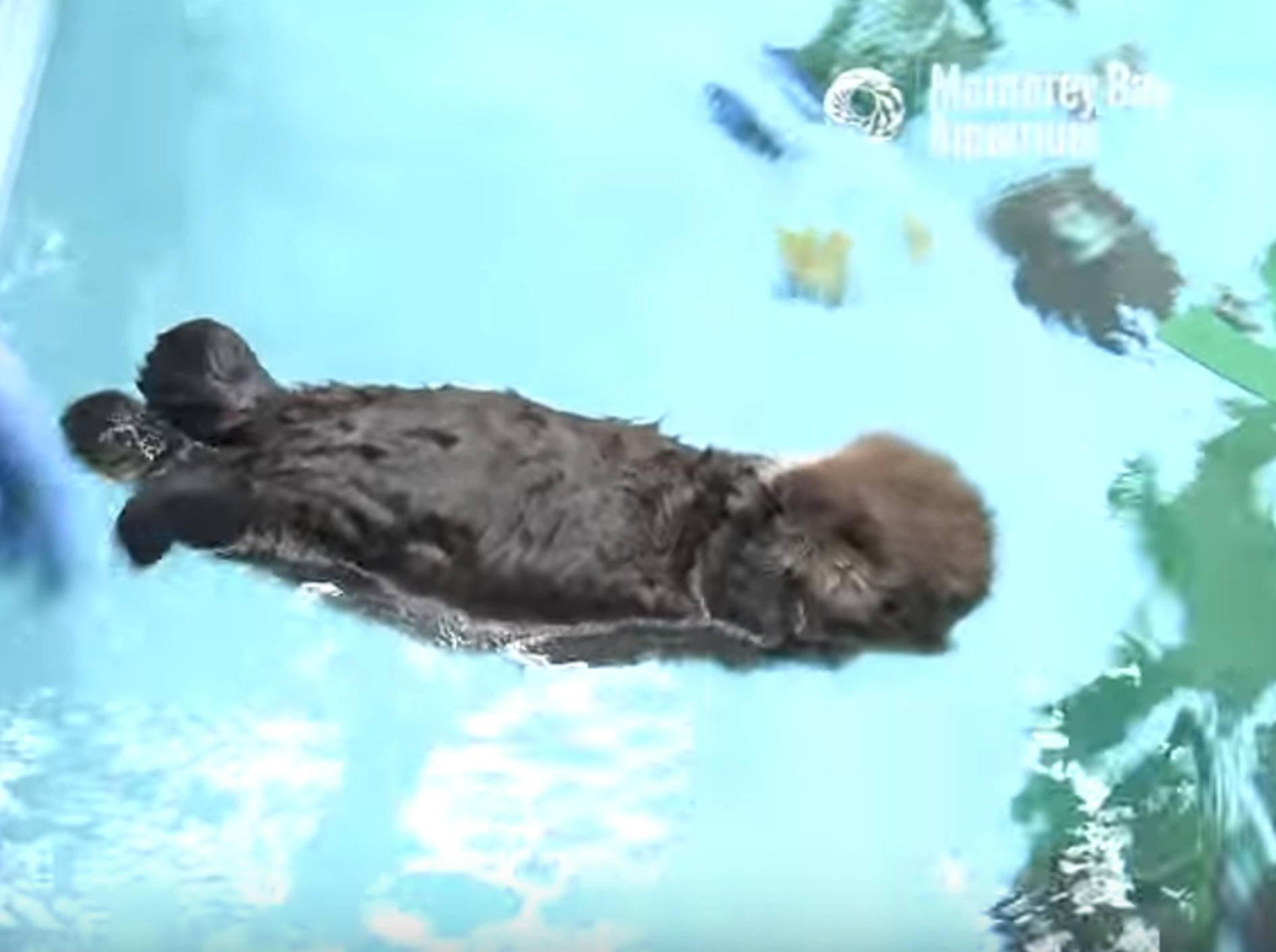 Seeotter-Waisenkind lernt schwimmen – Bild: YouTube / Monterey Bay Aquarium