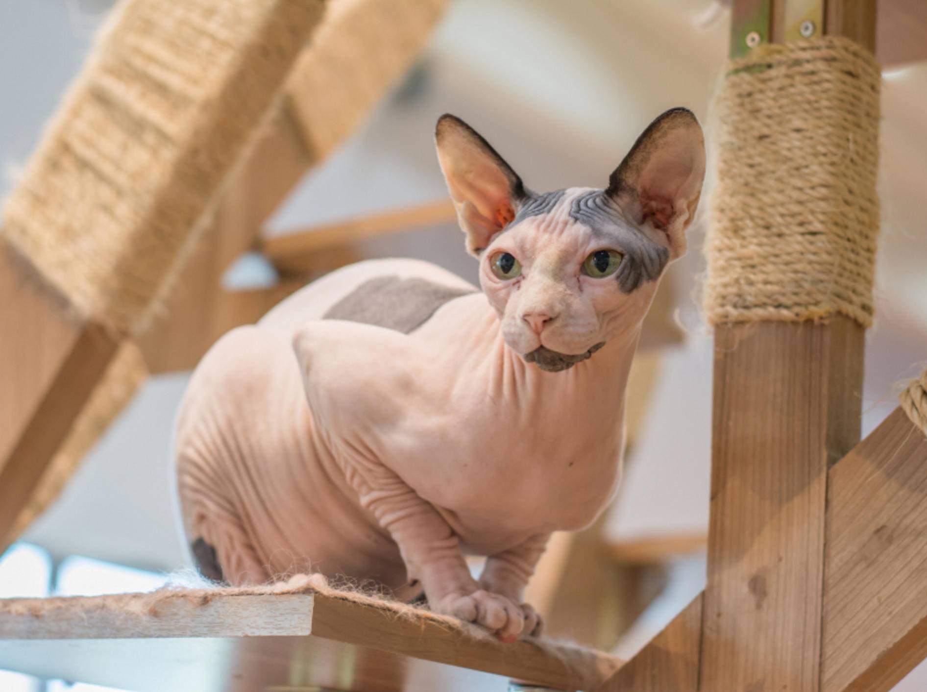 Tierquälerei? Manche Sphinx-Katzen haben weder Fell noch Tasthaare – Shutterstock / everytime