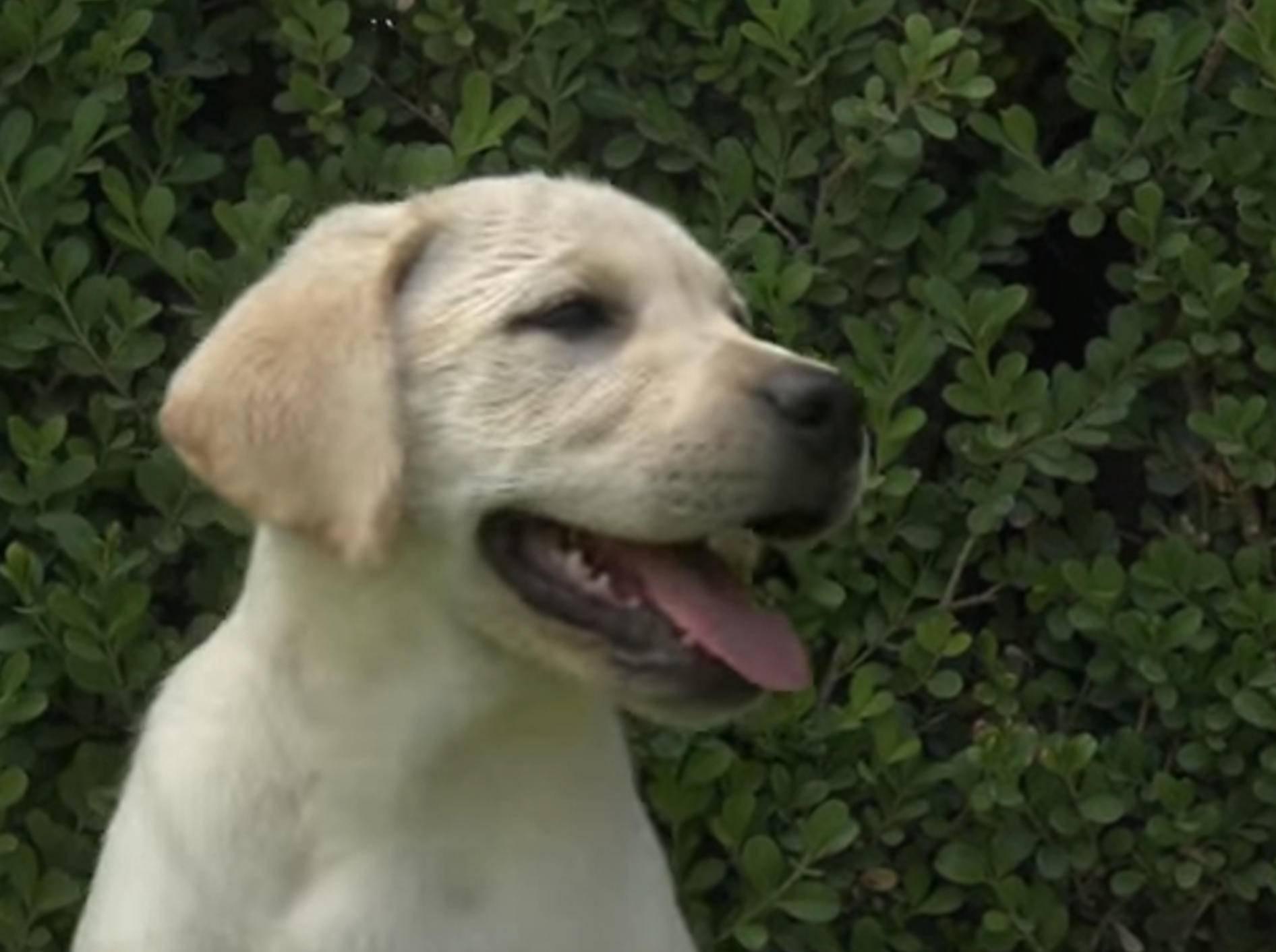 Gartenparty: Zuckersüße Labrador-Welpen beim Spielen – Bild: YouTube / The Pet Collective