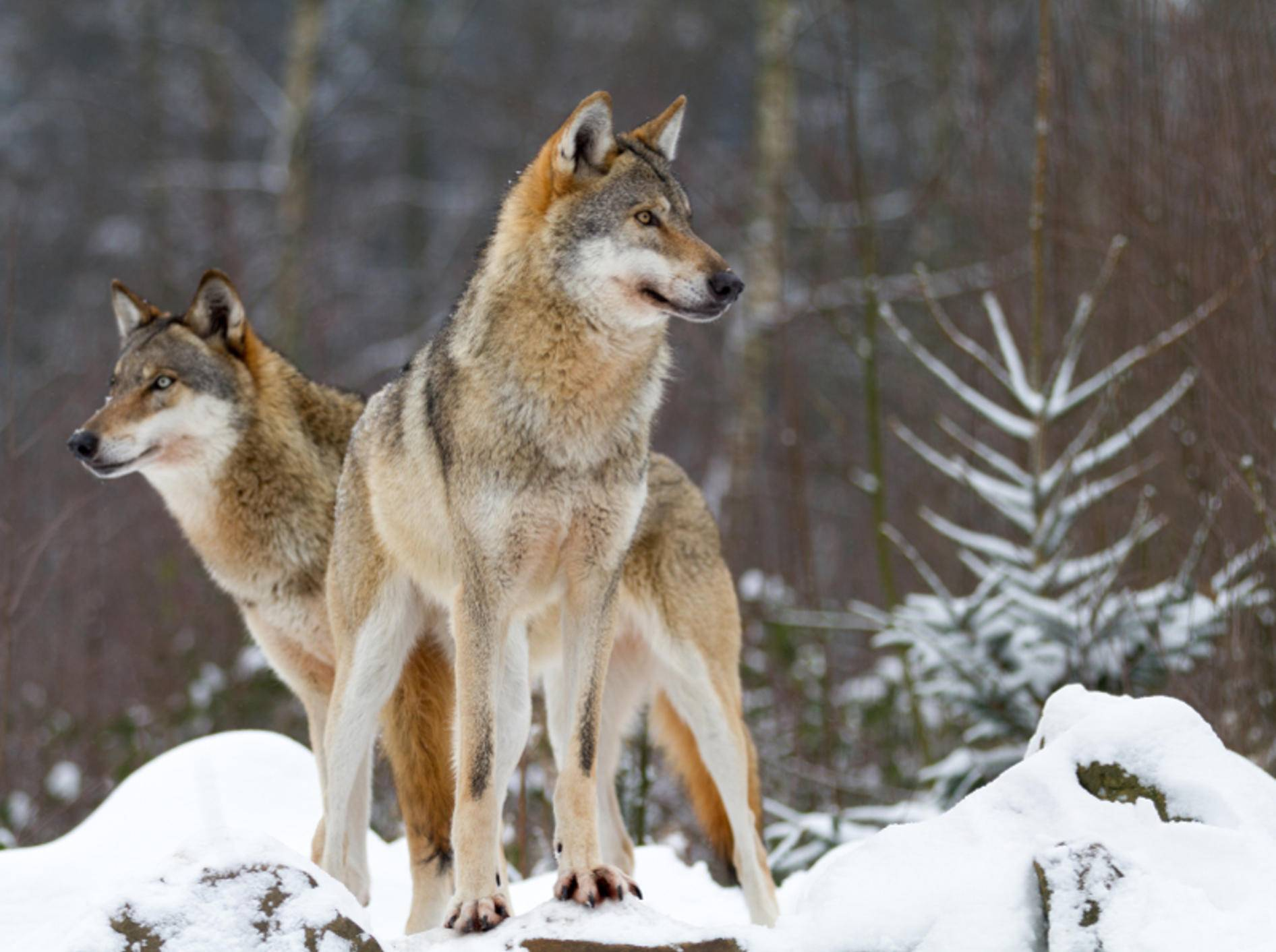 Wölfe sind die anmutigen und faszinierenden Vorfahren unserer Hunde – Shutterstock / kochanowski