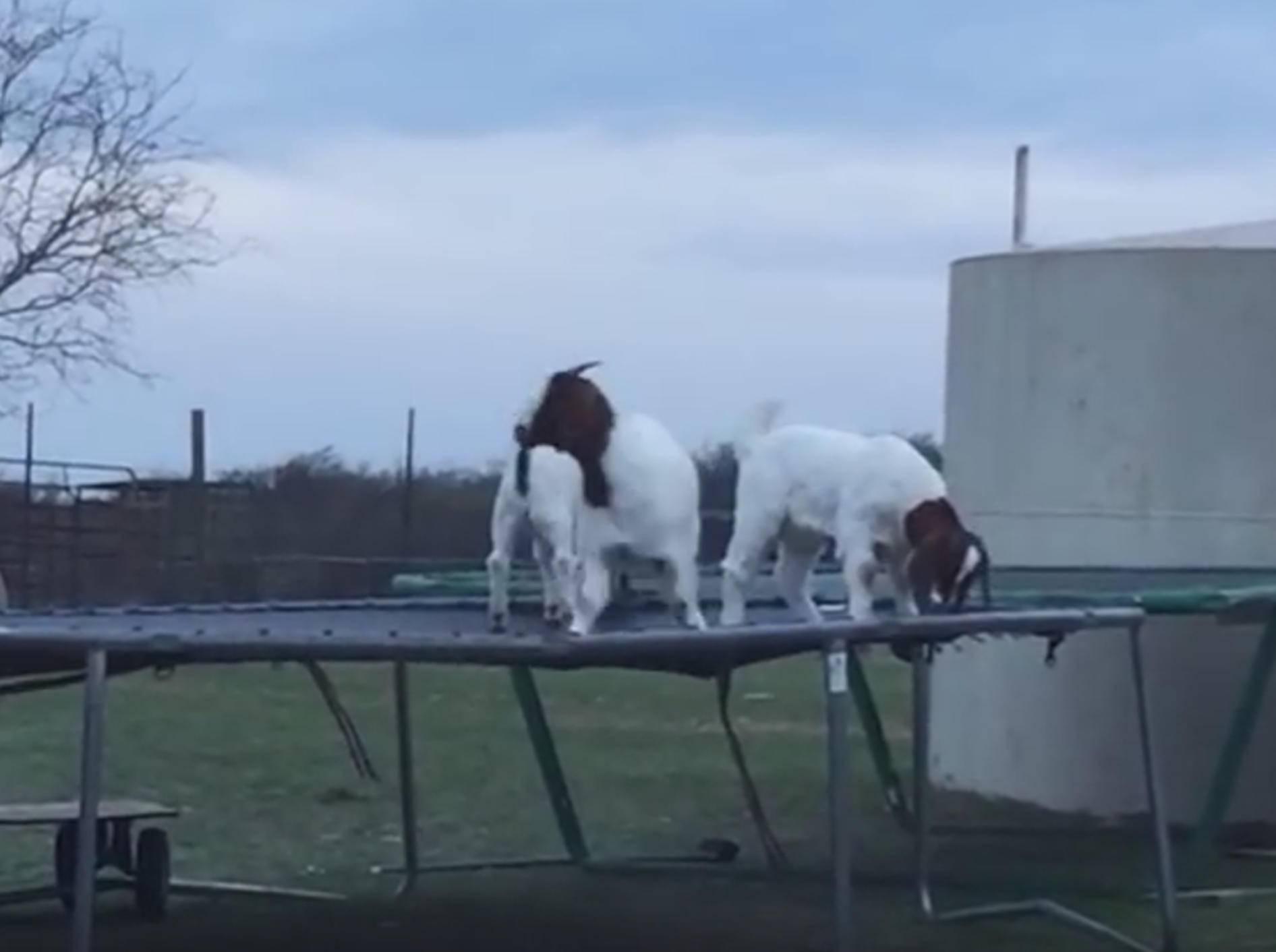 Ziegen haben Riesenspaß auf dem Trampolin – Bild: YouTube / Kyoot Animals