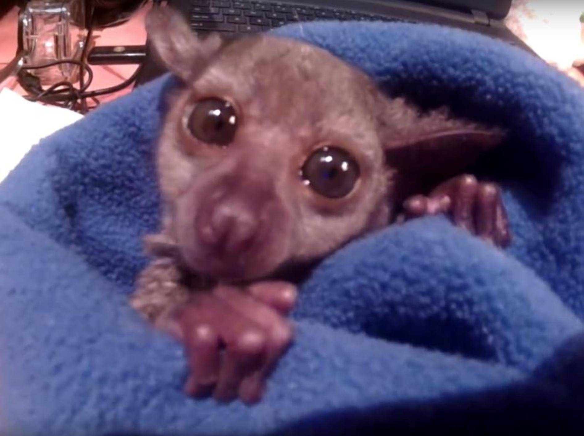 Baby-Galago Gizmo wünscht frohe Weihnachten – YouTube / Exotic Animal Experience