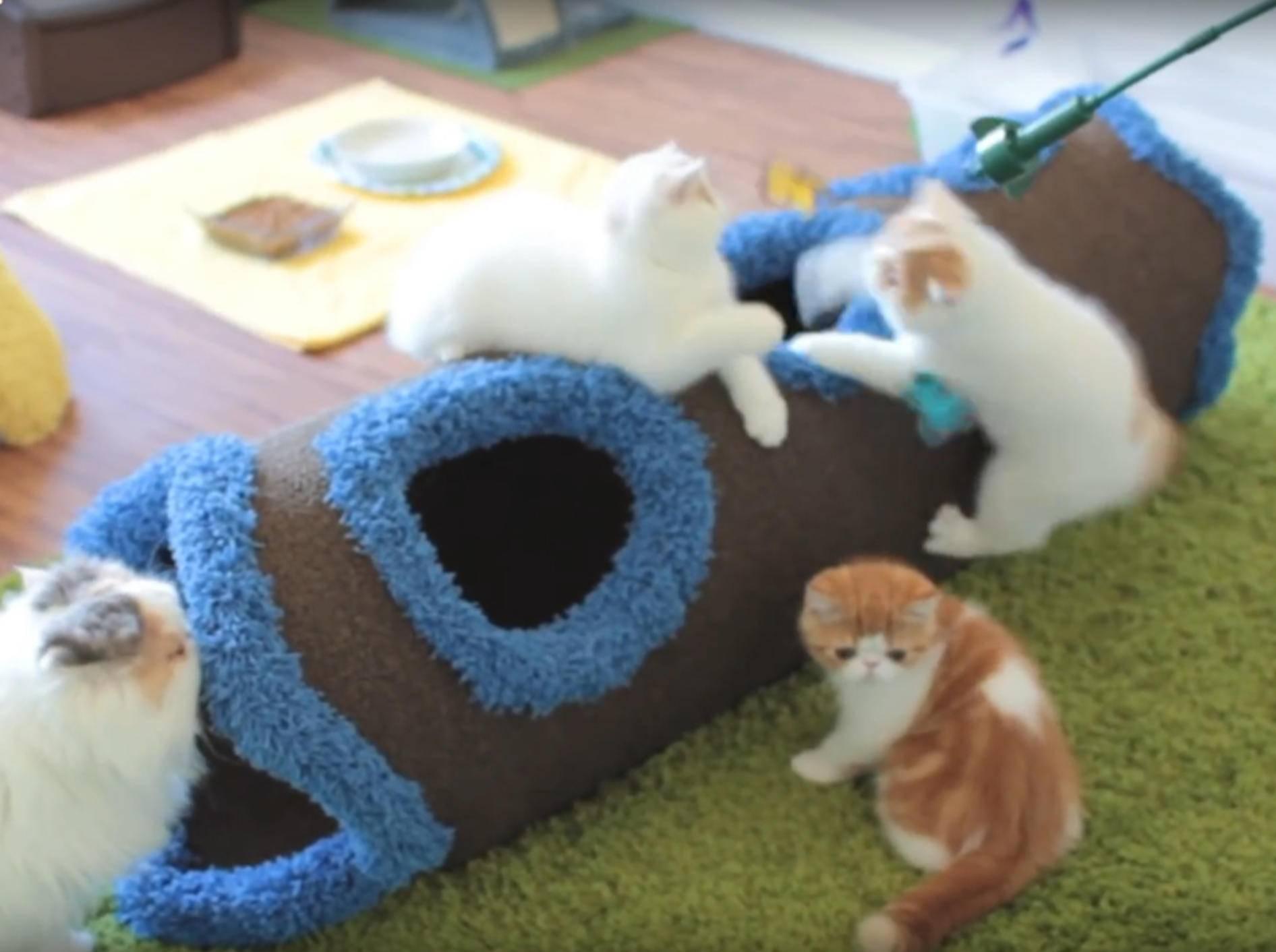 Wuschelige Perserkätzchen spielen mit ihrer Schwester – YouTube / sweetfurx4