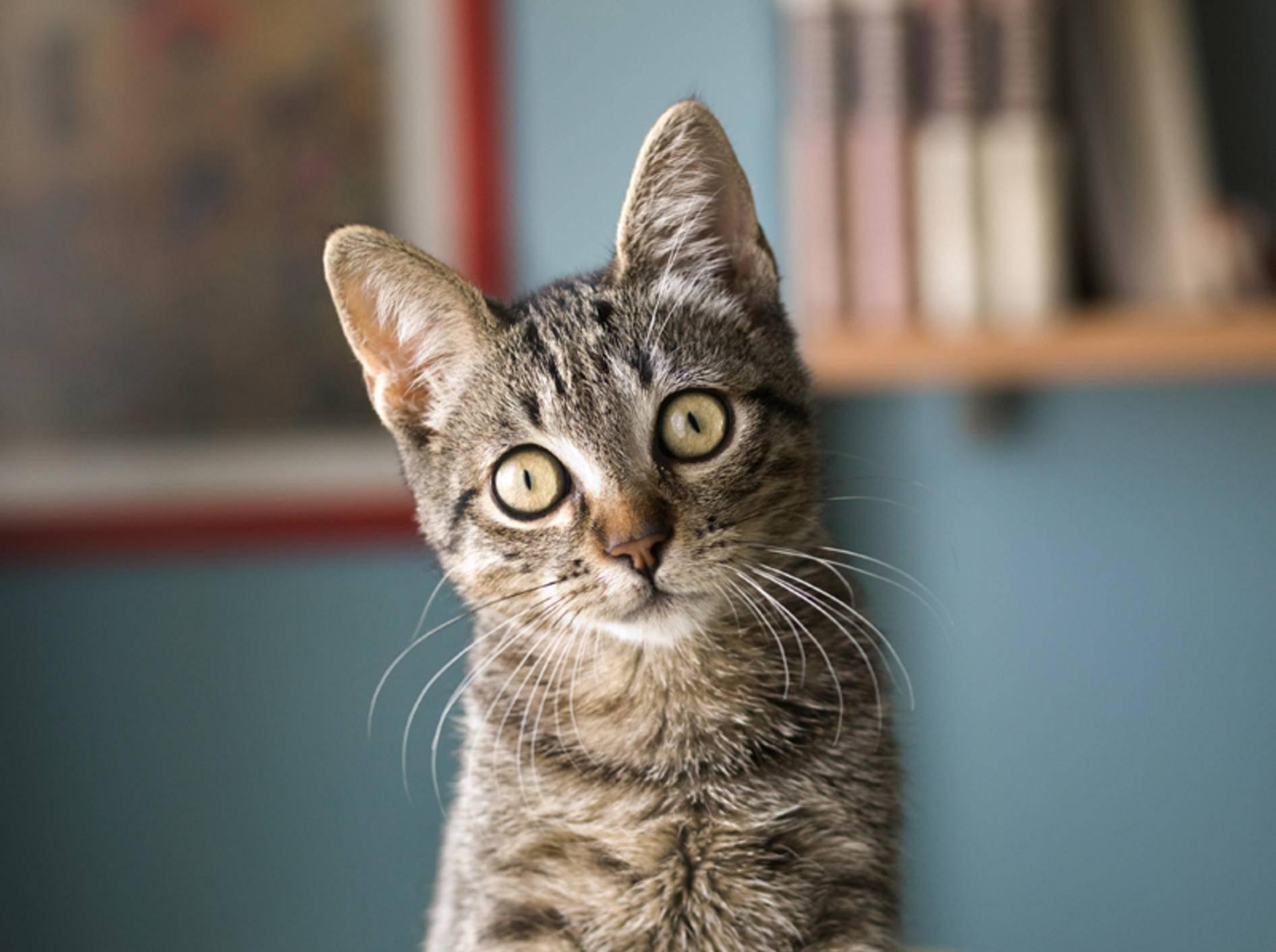 Anders als bei dieser gesunden Katze, ist der Kopf bei Hydrozephalus meist vergrößert – Shutterstock / Ramon Espelt Photography