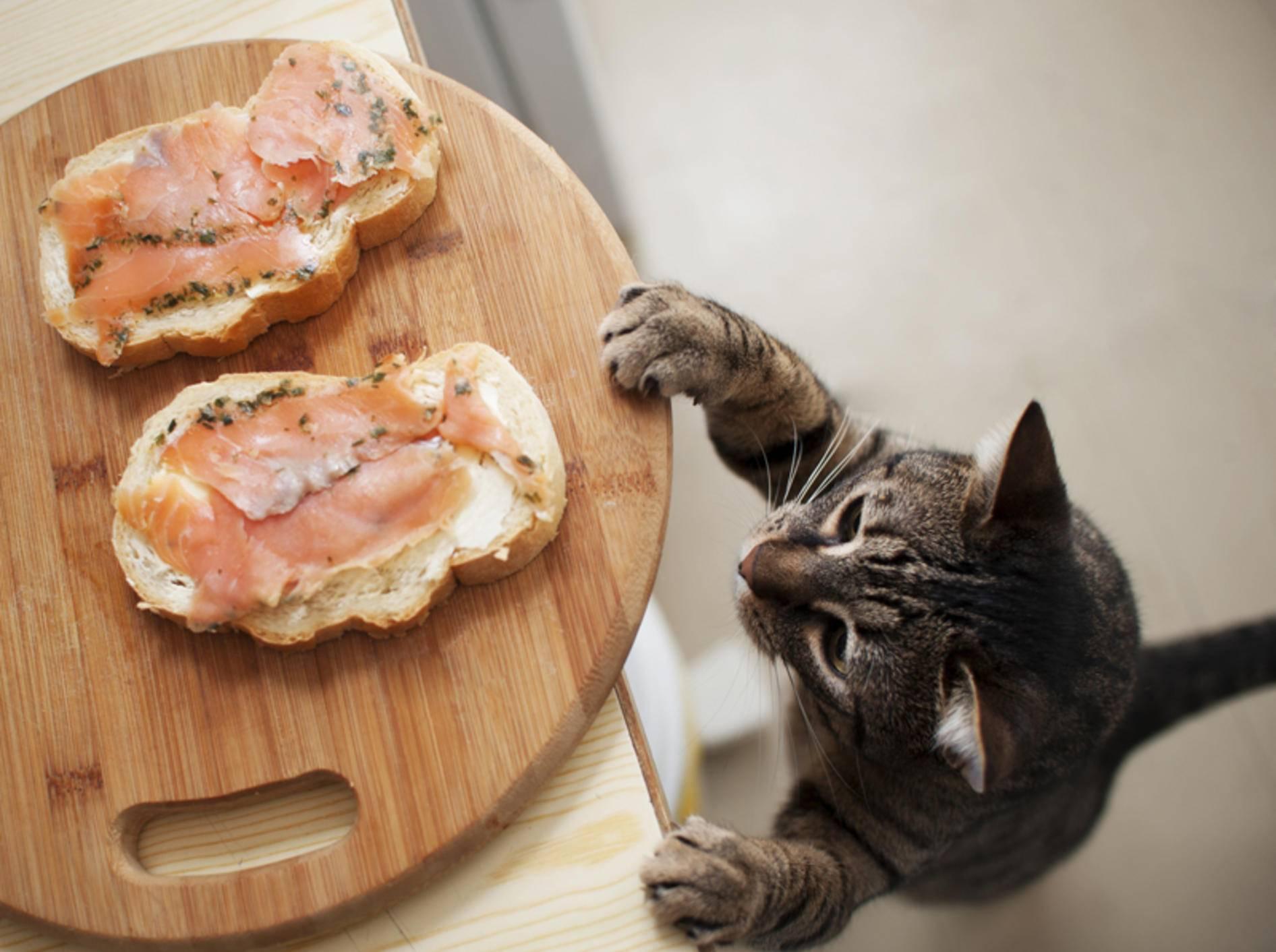Lachsaufschnitt enthält viel Salz, darf die Katze davon naschen? – Shutterstock / ToskanaINC