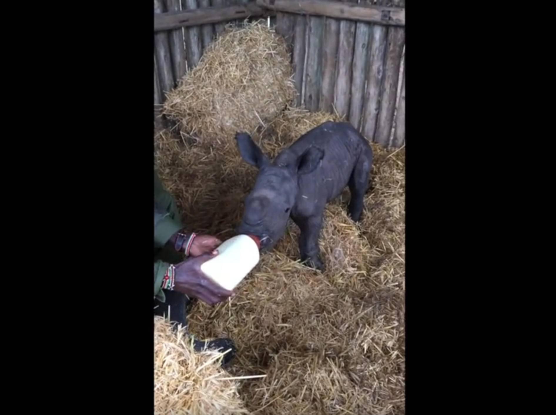 Kleines Nashorn wird liebevoll aufgepäppelt – YouTube / OlPejetaConservancy