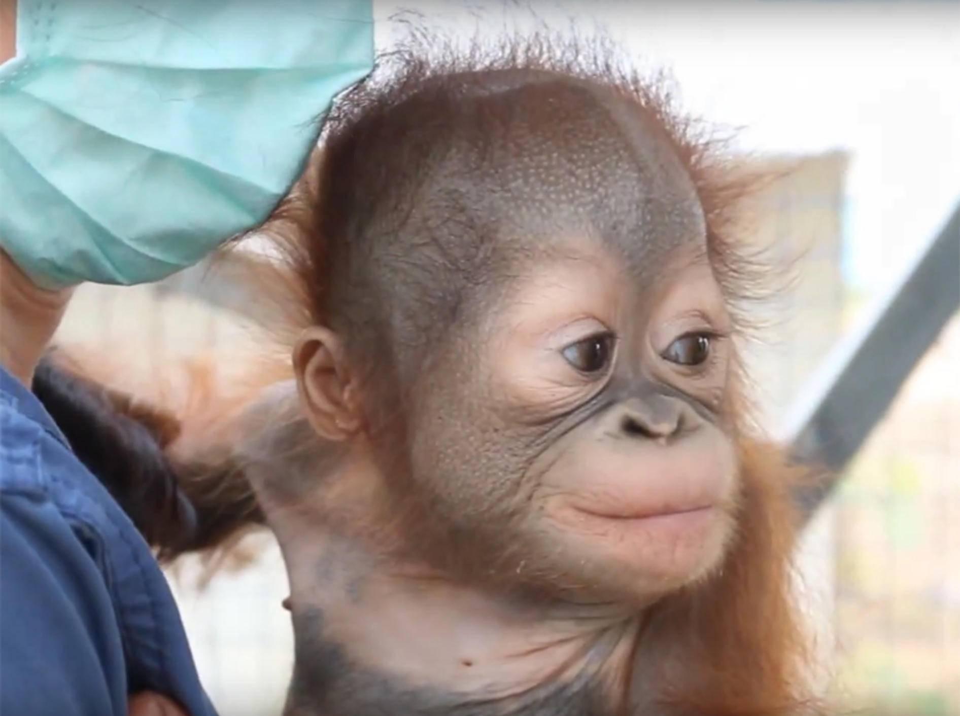 Orang-Utan-Baby klettert zum ersten Mal – YouTube / International Animal Rescue IAR