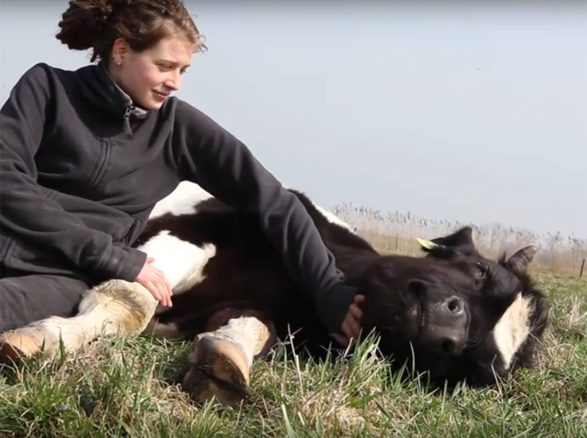 Kuh Fiete schnurrt beim Schmusen – YouTube / StiftungHofButenland