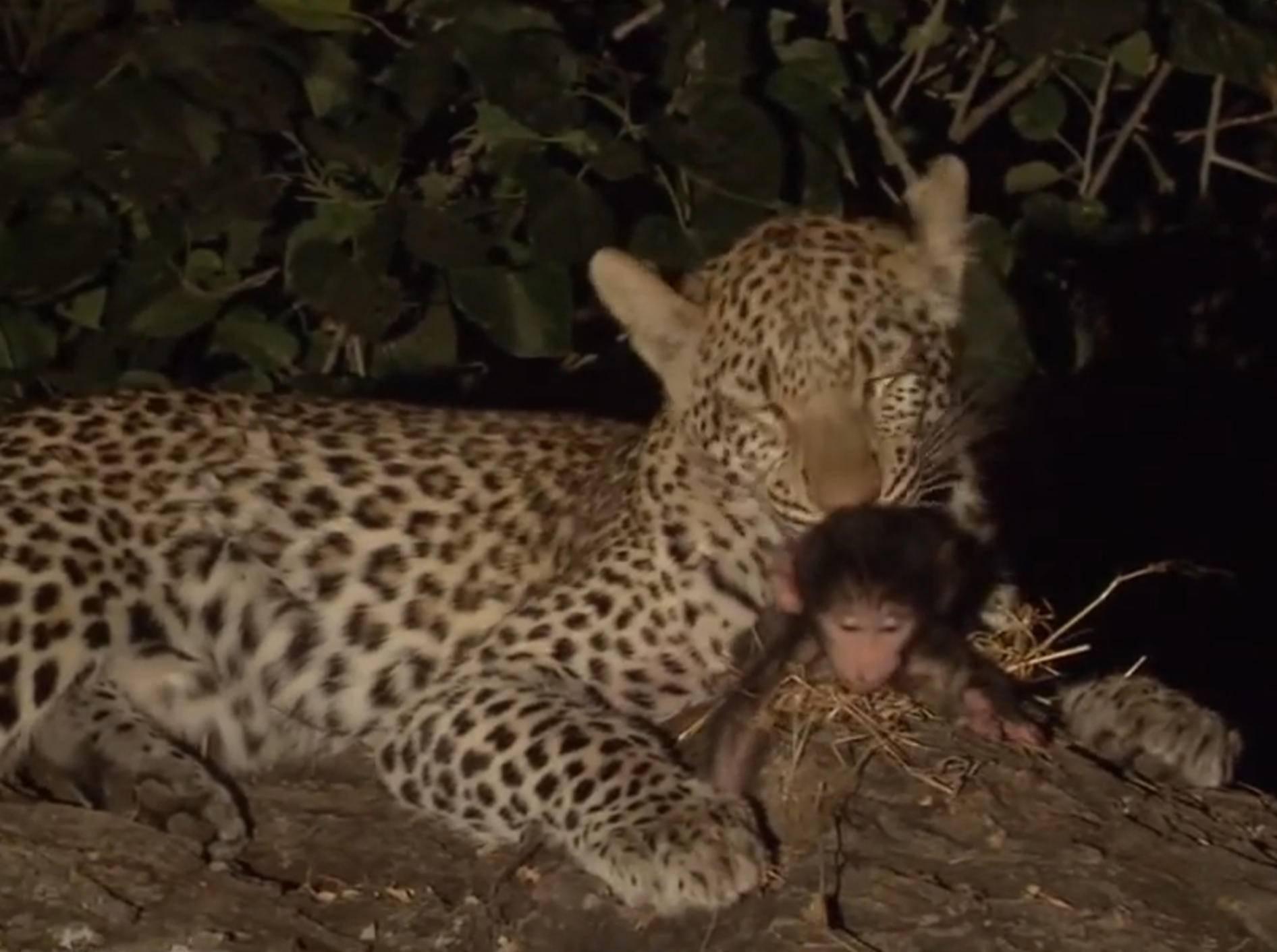 Ungewöhnliche Patchworkfamilie: Leopard und Äffchen – YouTube / wildlife films