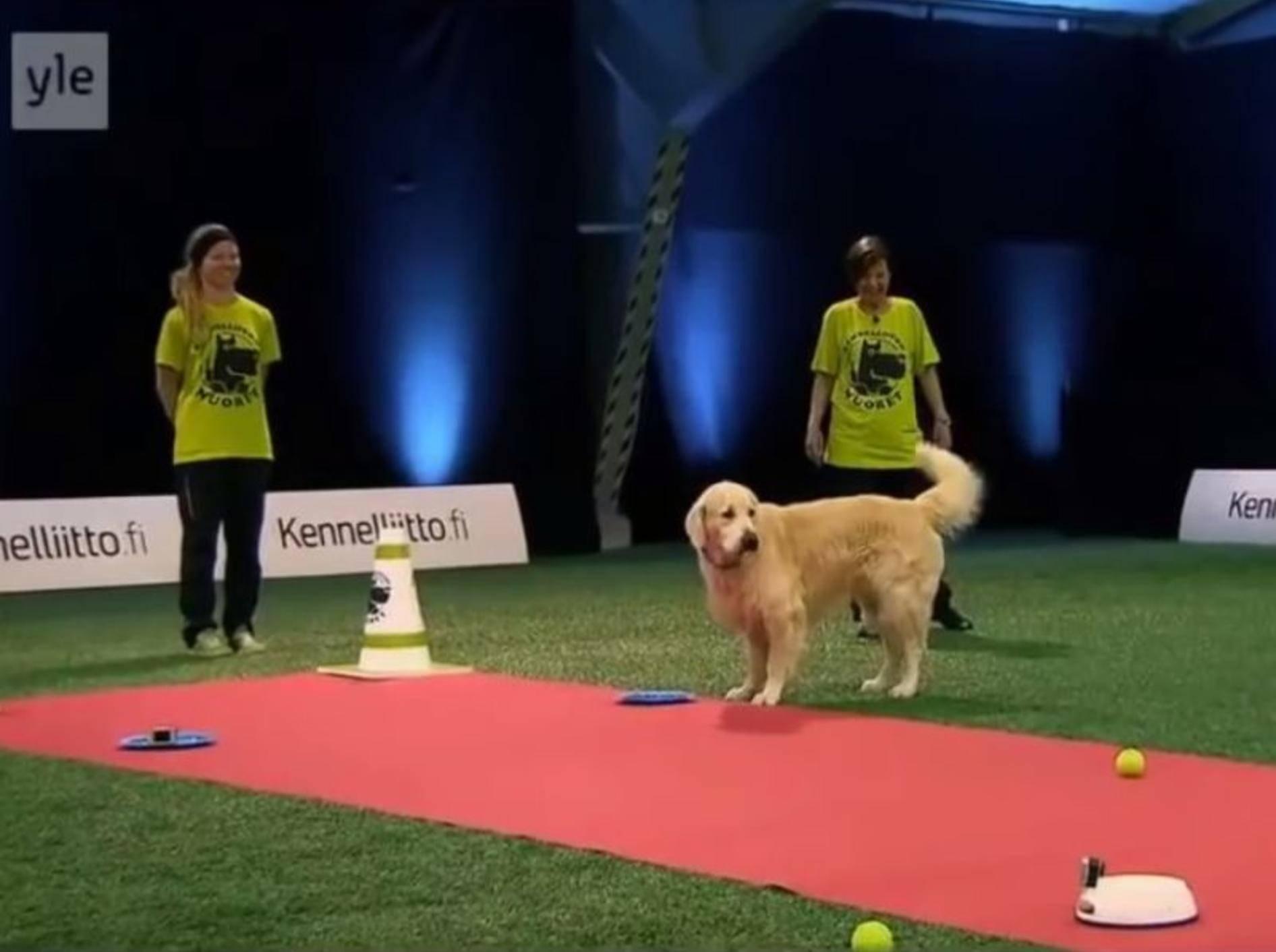 Lustiger Golden Retriever pfeift aufs Training – YouTube / Golden Retriever Lovers