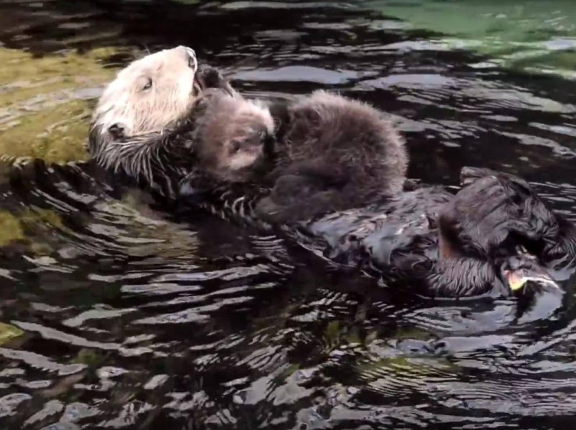 Seeotter-Mama kuschelt mit ihrem Baby – YouTube / Monterey Bay Aquarium