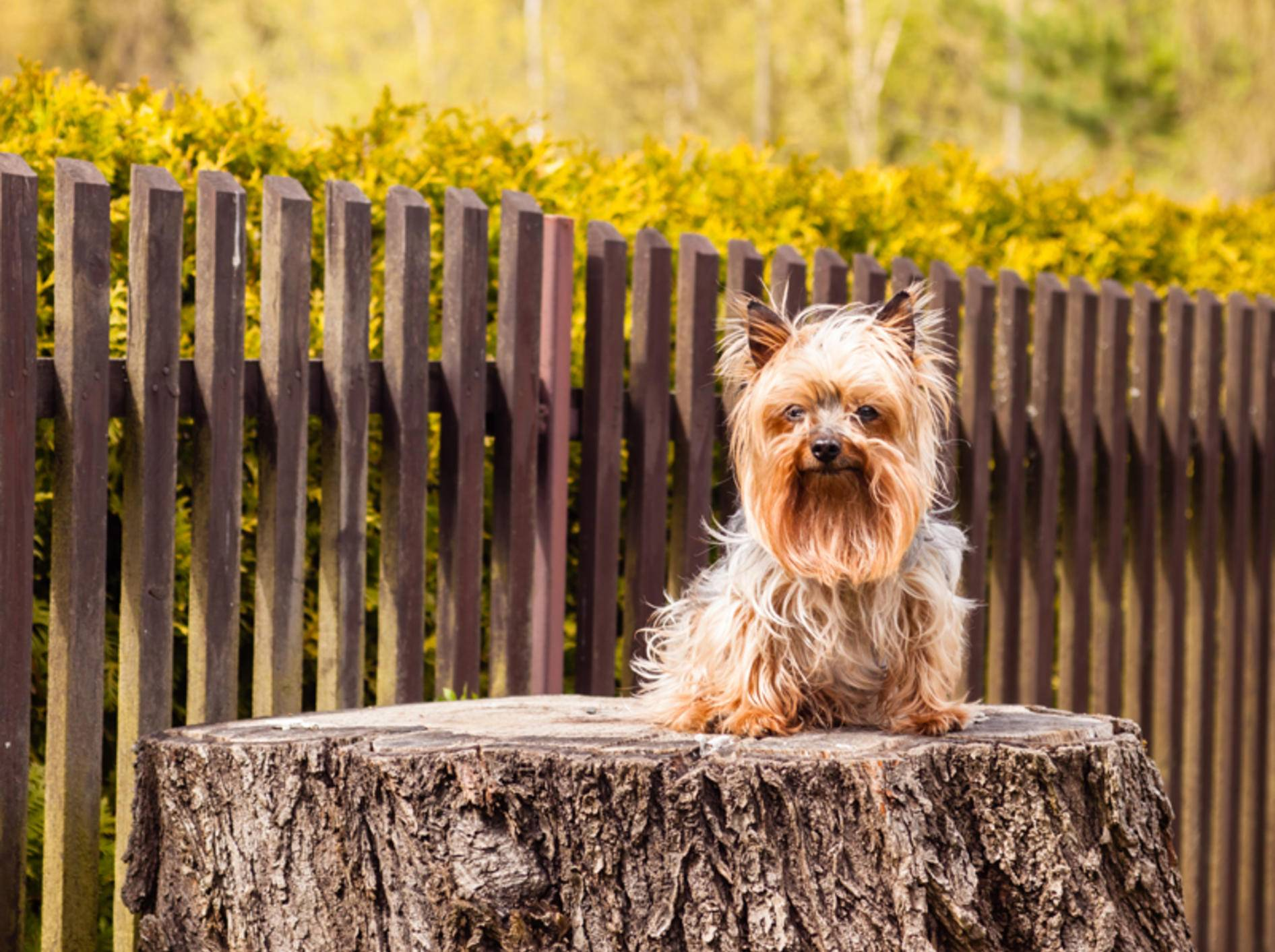 Kleine Hunde wie der Yorkshire Terrier haben eine höhere Lebenserwartung als große Hunde – Shutterstock / Jarry