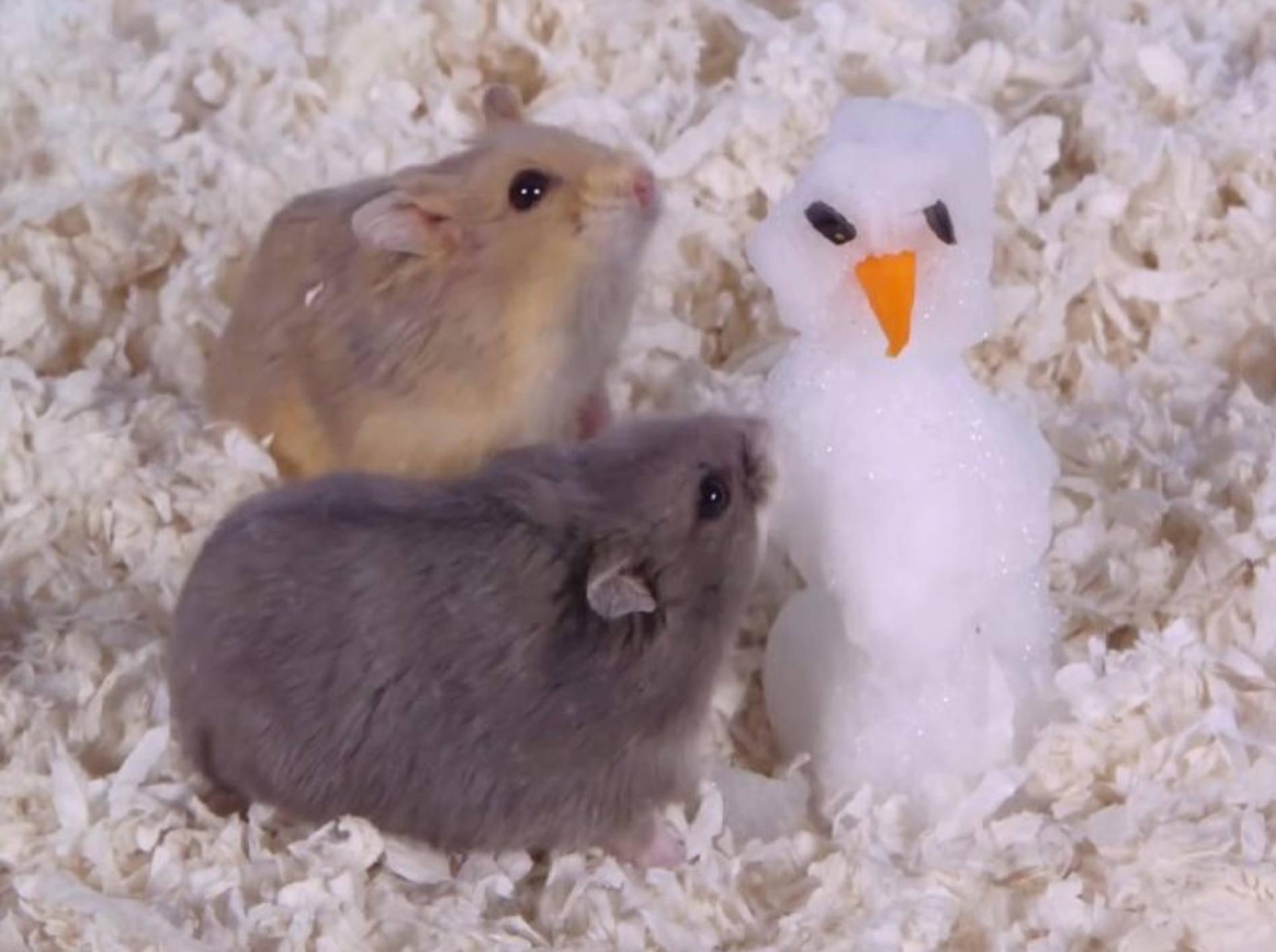 Zwei süße kleine Hamster bauen einen Schneemann – YouTube / AprilsAnimals
