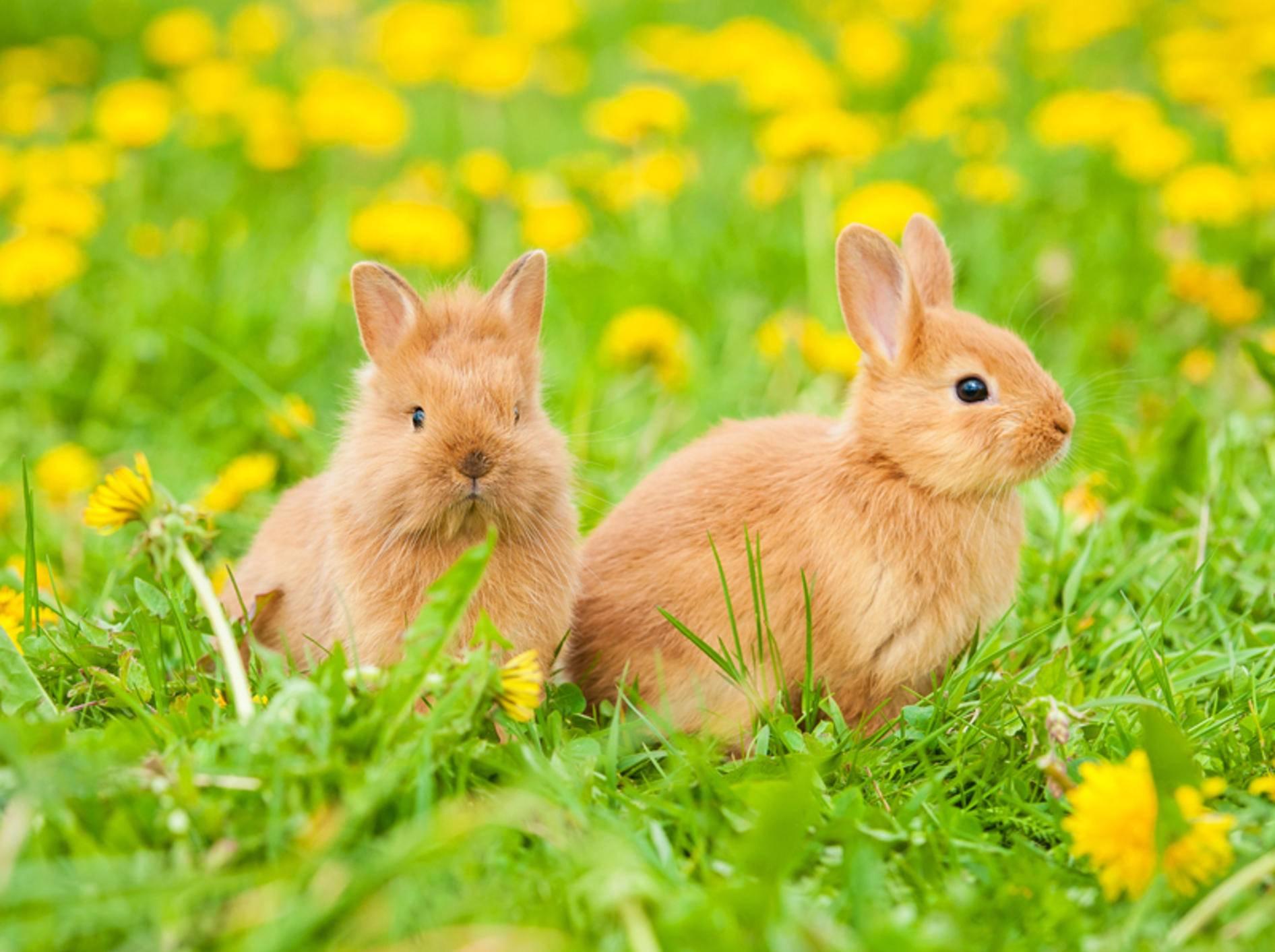 Kaninchen brauchen viel Auslauf und haben gern Gesellschaft – Shutterstock / Rita Kochmarjova
