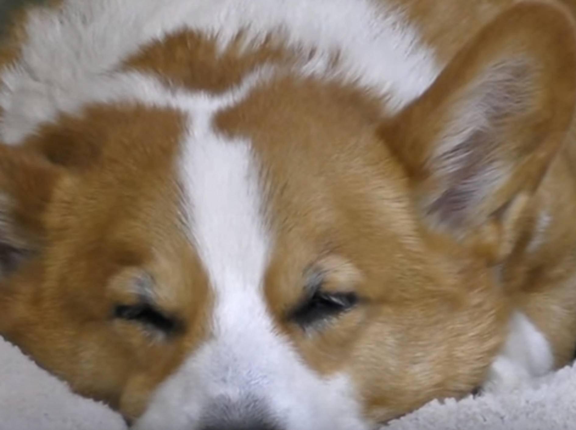 Corgi Goro und Kätzchen Kuro schlafen wie ein Herz und eine Seele – Bild: YouTube / Goro@Welsh corgi